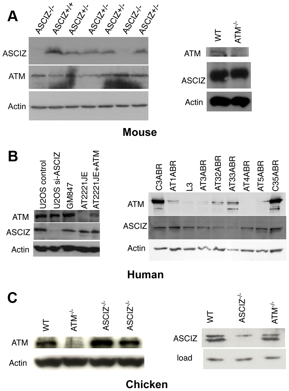 Reciprocal independence of ASCIZ and ATM protein levels.