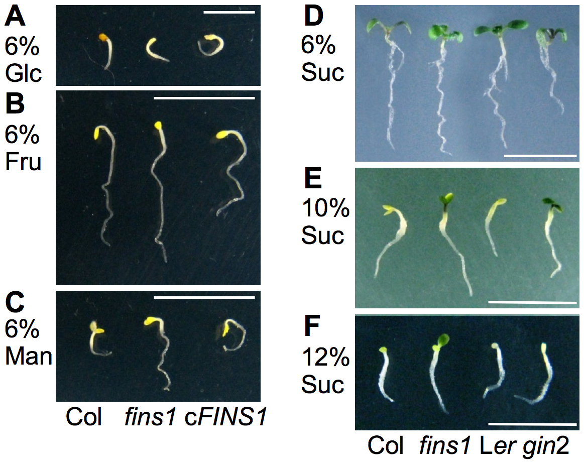 FINS1 in fructose signaling is independent of its sucrose metabolic activity.