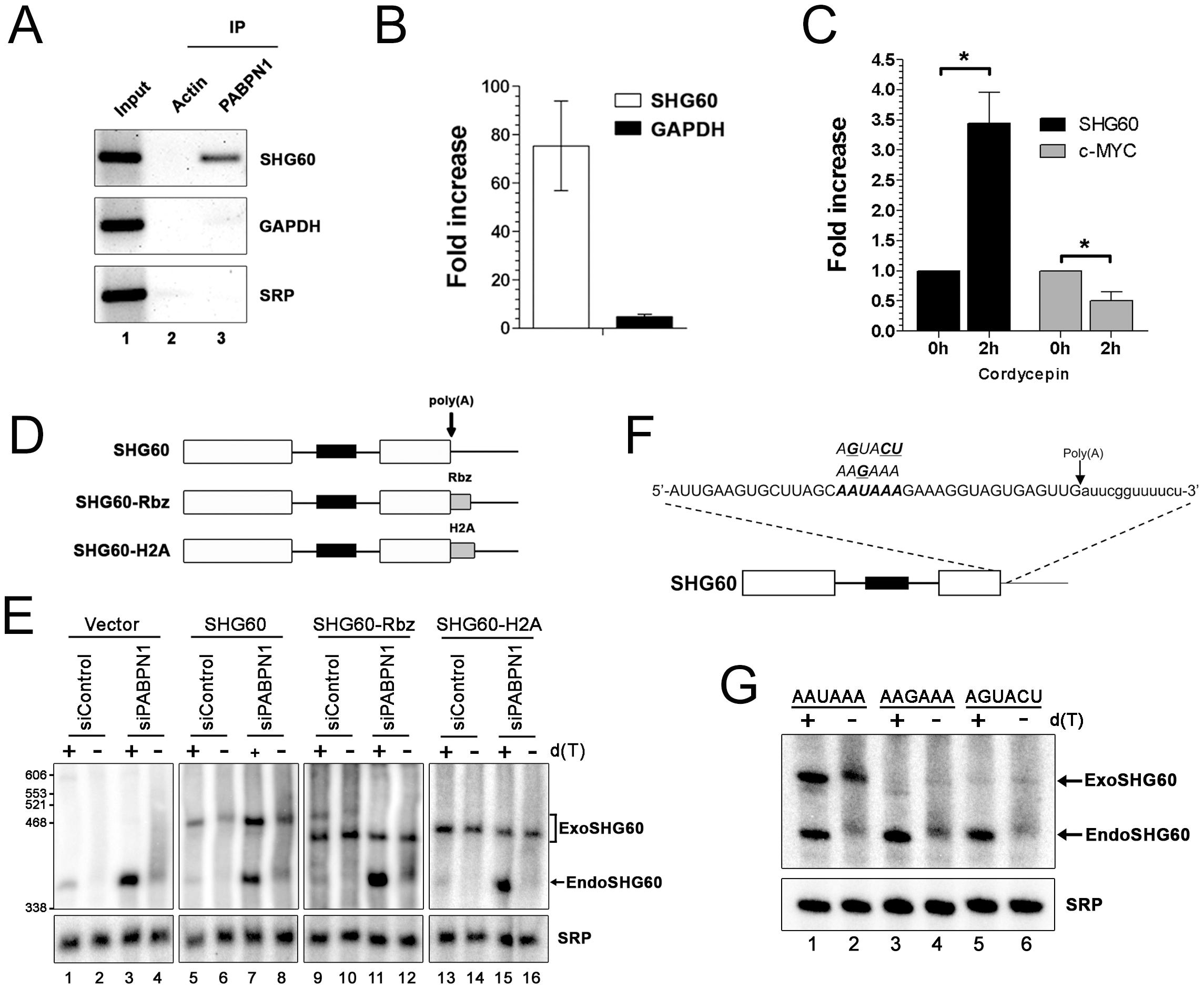 PABPN1–dependent RNA decay is polyadenylation-dependent.