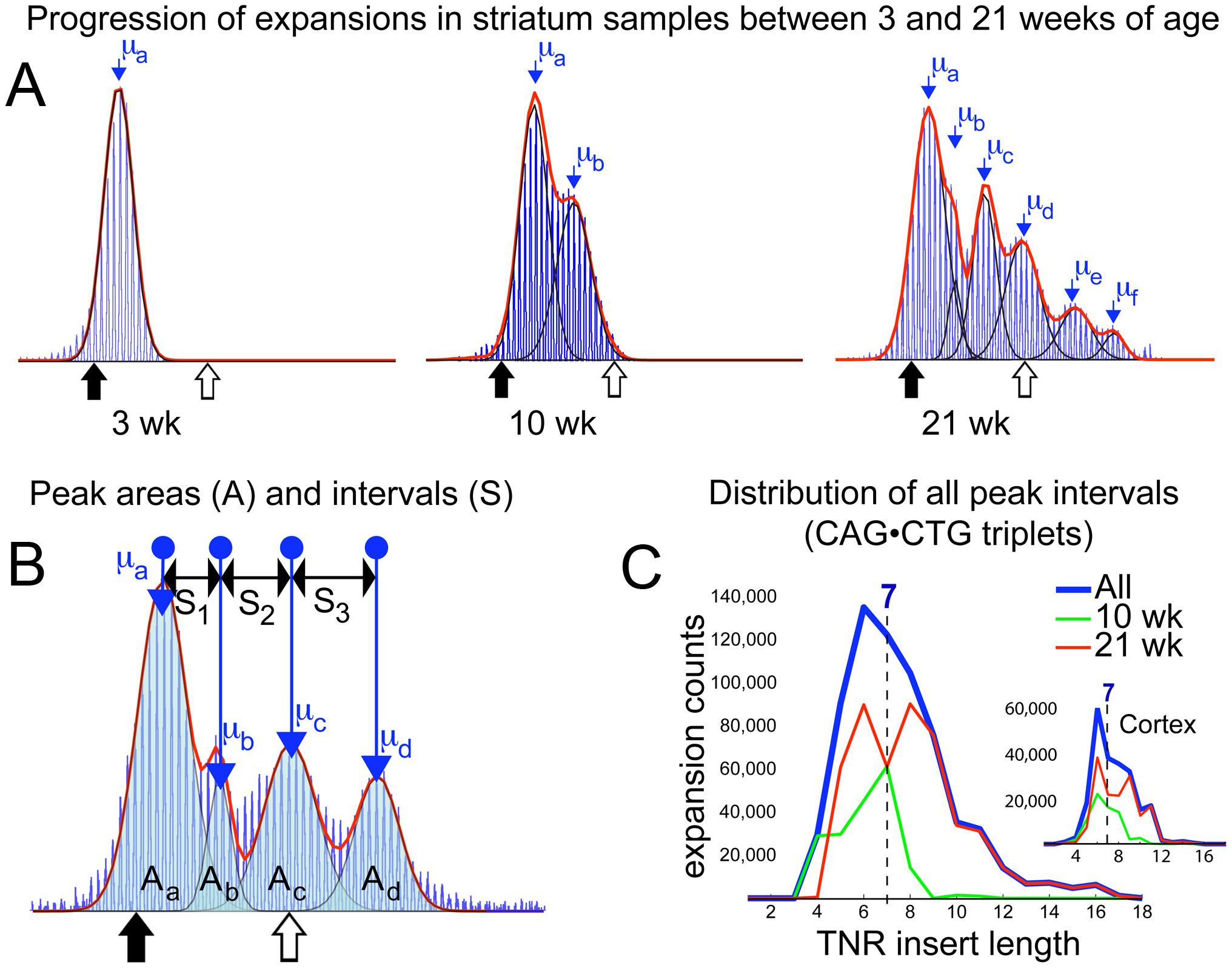 Periodic expansions in striatum and cortex.
