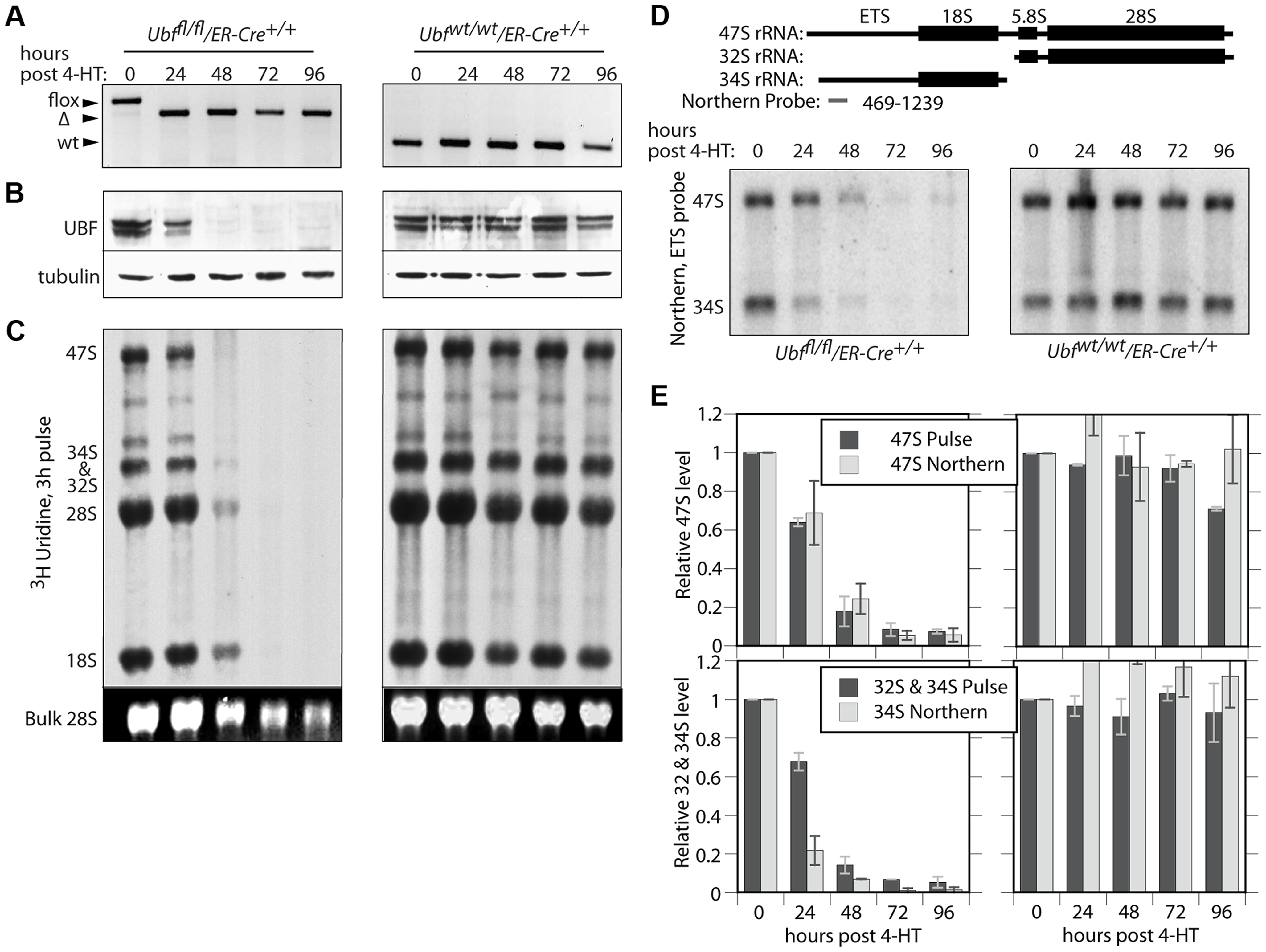 UBF is essential for the synthesis of the major rRNAs in cell culture.