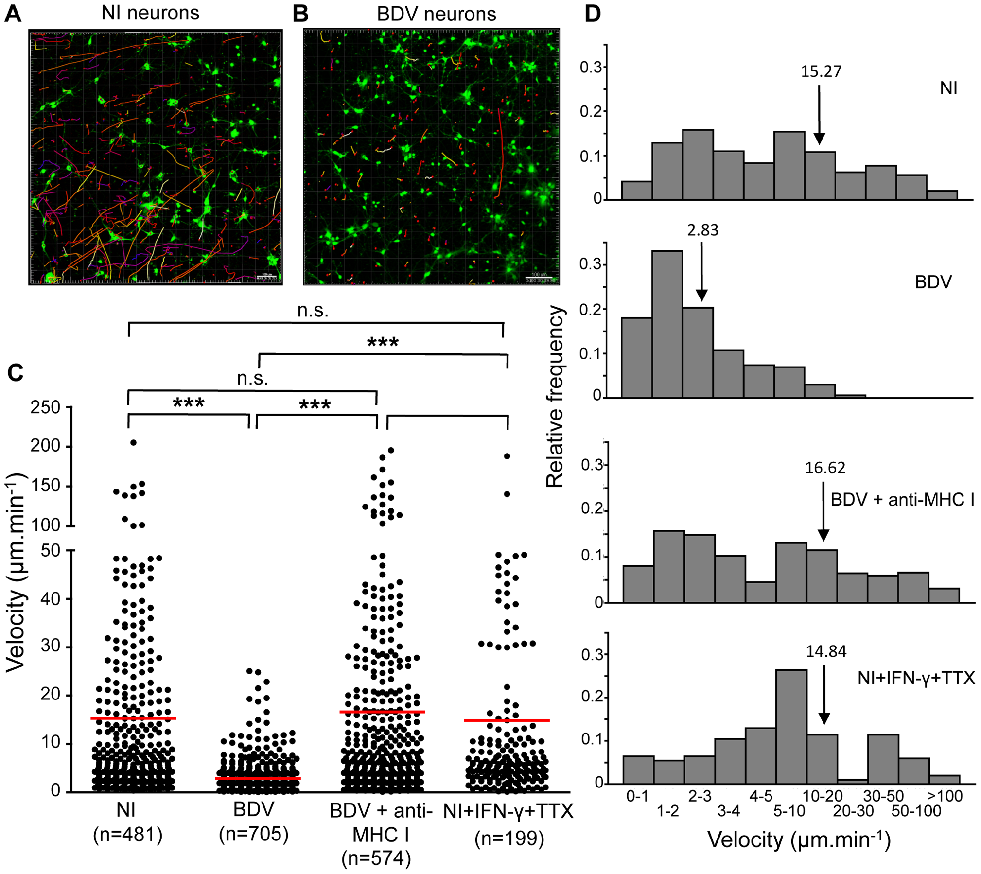 Quantitative analysis of CD8 T cell movement behavior in contact with neurons.