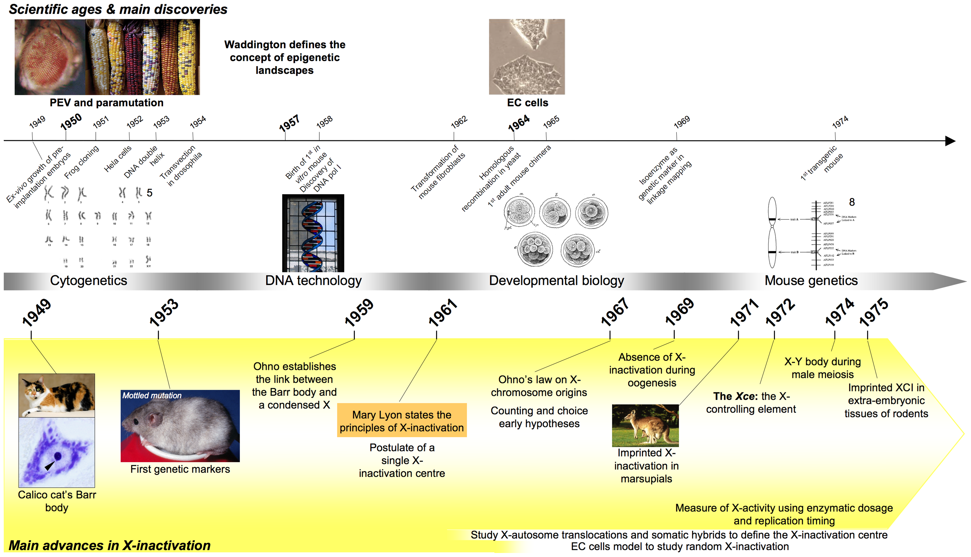 Timeline showing milestones in the history of X-inactivation (1950–1975).