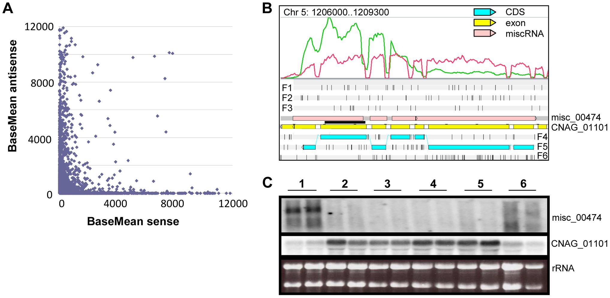 Antisense/sense transcription in <i>C. neoformans</i> var. <i>grubii</i>.