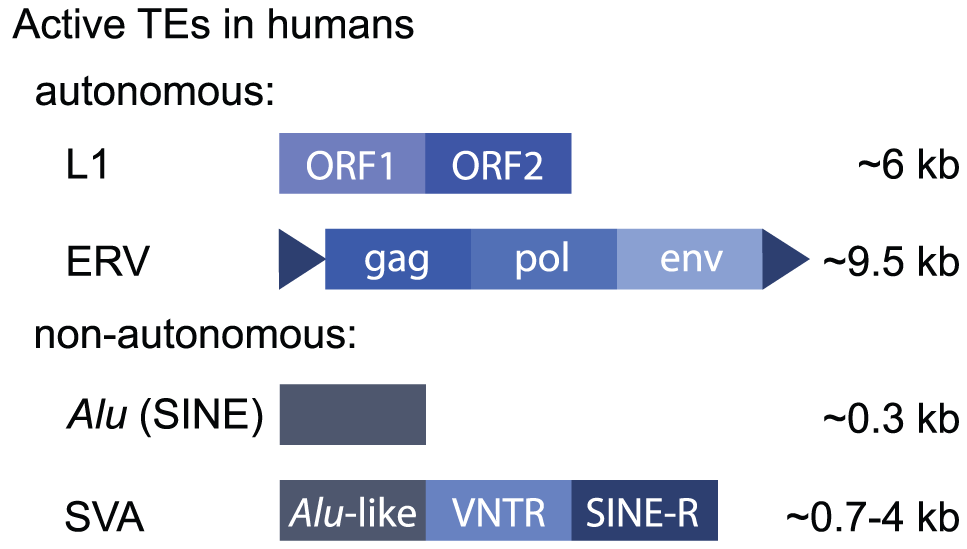 Active human retrotransposons.