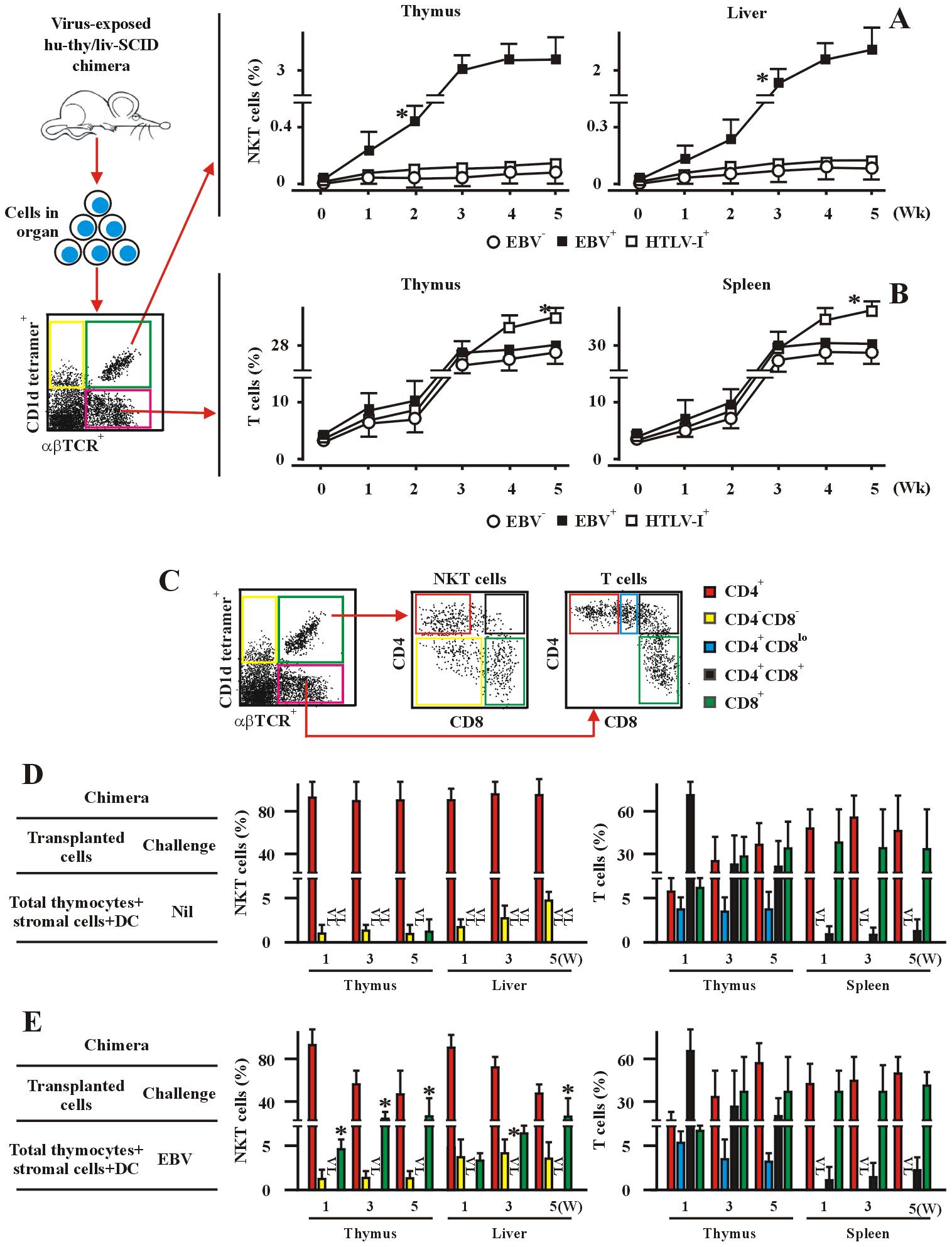 EBV promotes CD8<sup>+</sup> NKT cell development <i>in vivo</i> in hu-thy/liv-SCID chimeric mice.