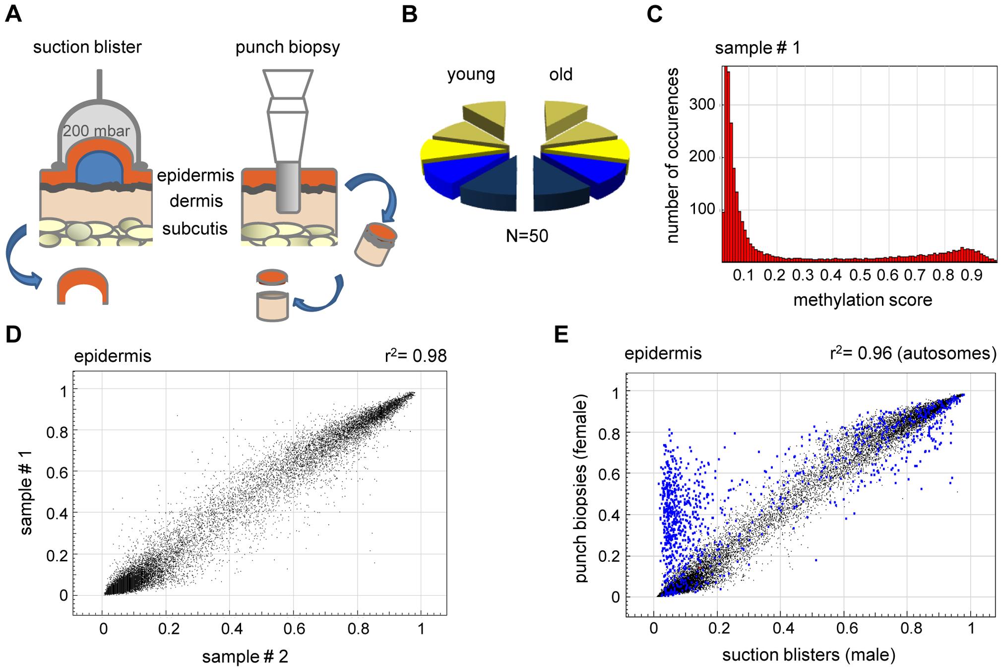 High interindividual similarity between DNA methylation patterns from human epidermis.