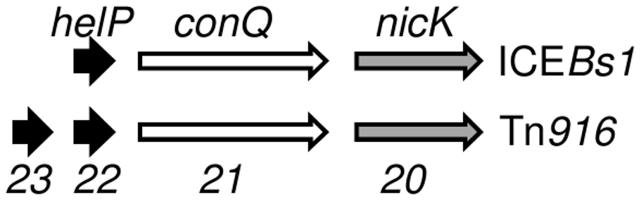 Organization of genes for HelP, ConQ (coupling protein) and NicK homologues in ICE<i>Bs1</i> and Tn<i>916</i>.