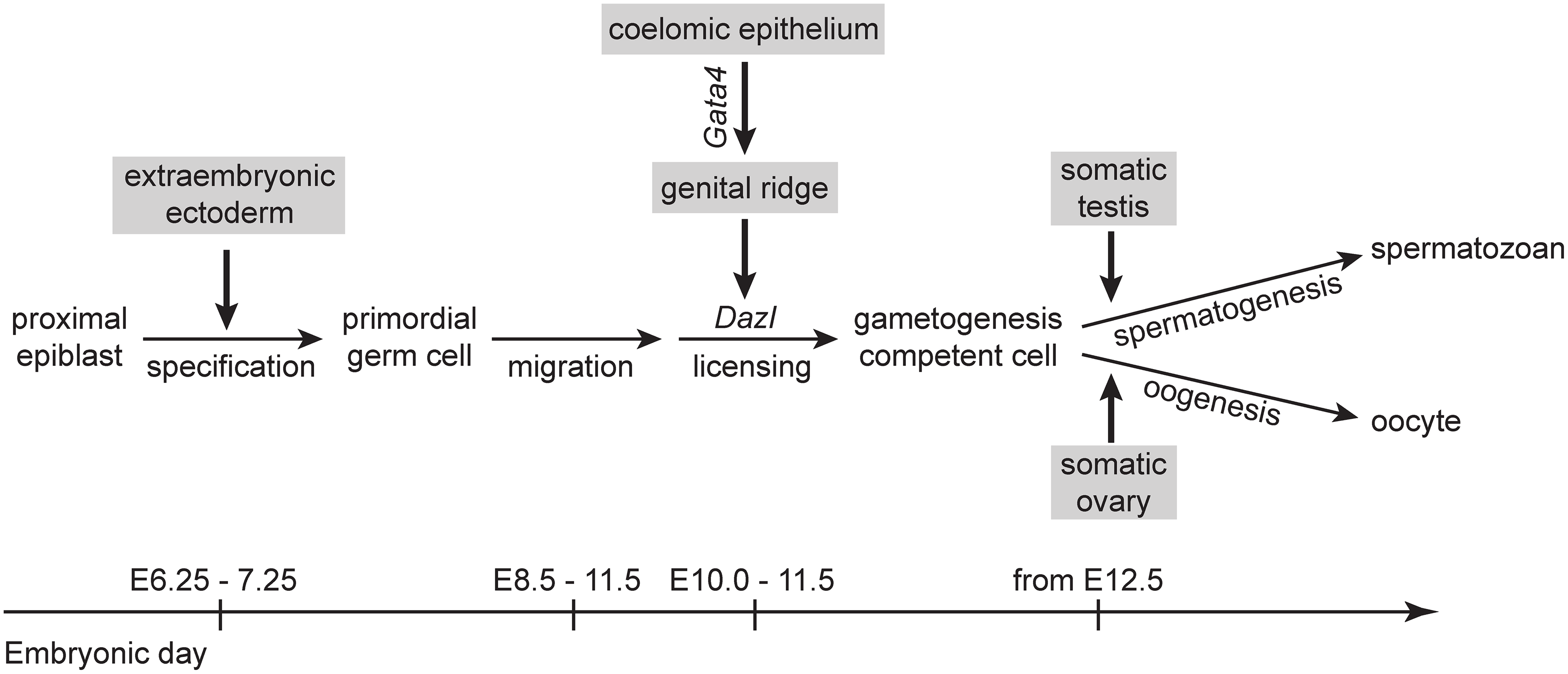 A proposed model for somatic induction of germ cell differentiation, in three steps.