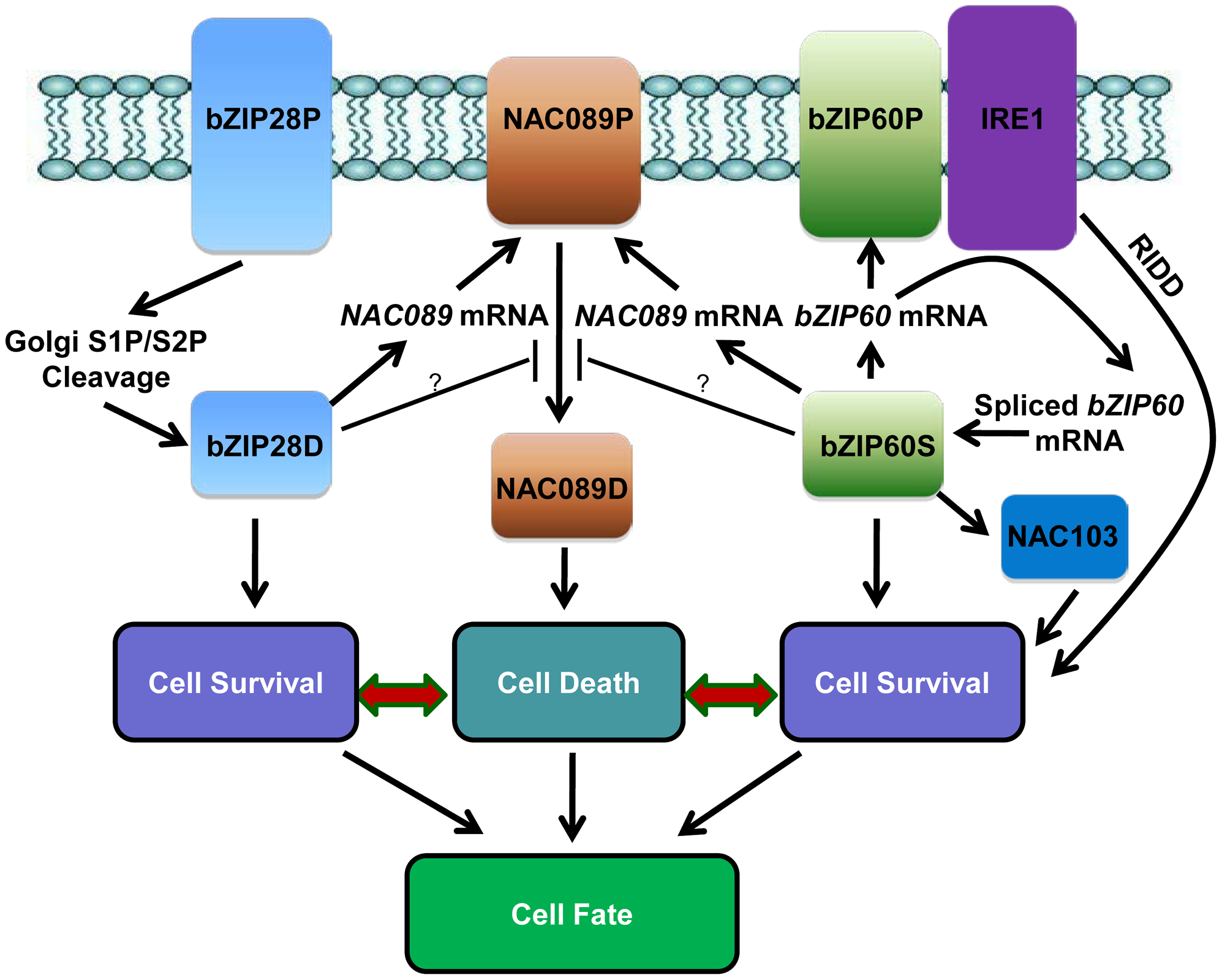Hypothetical working model of cell survival and cell death pathways in plant UPR.