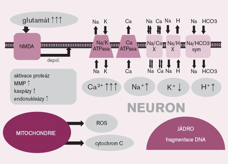 Vybrané mechanizmy ischemicko-reperfuzního poškození na úrovni nervové buňky. NMDA – N- methyl- D- aspartát receptor, depol. – depolarizace, X – výměník, sym. – symporter, MMP – matrixová metaloproteináza, ROS – reaktivní formy kyslíku