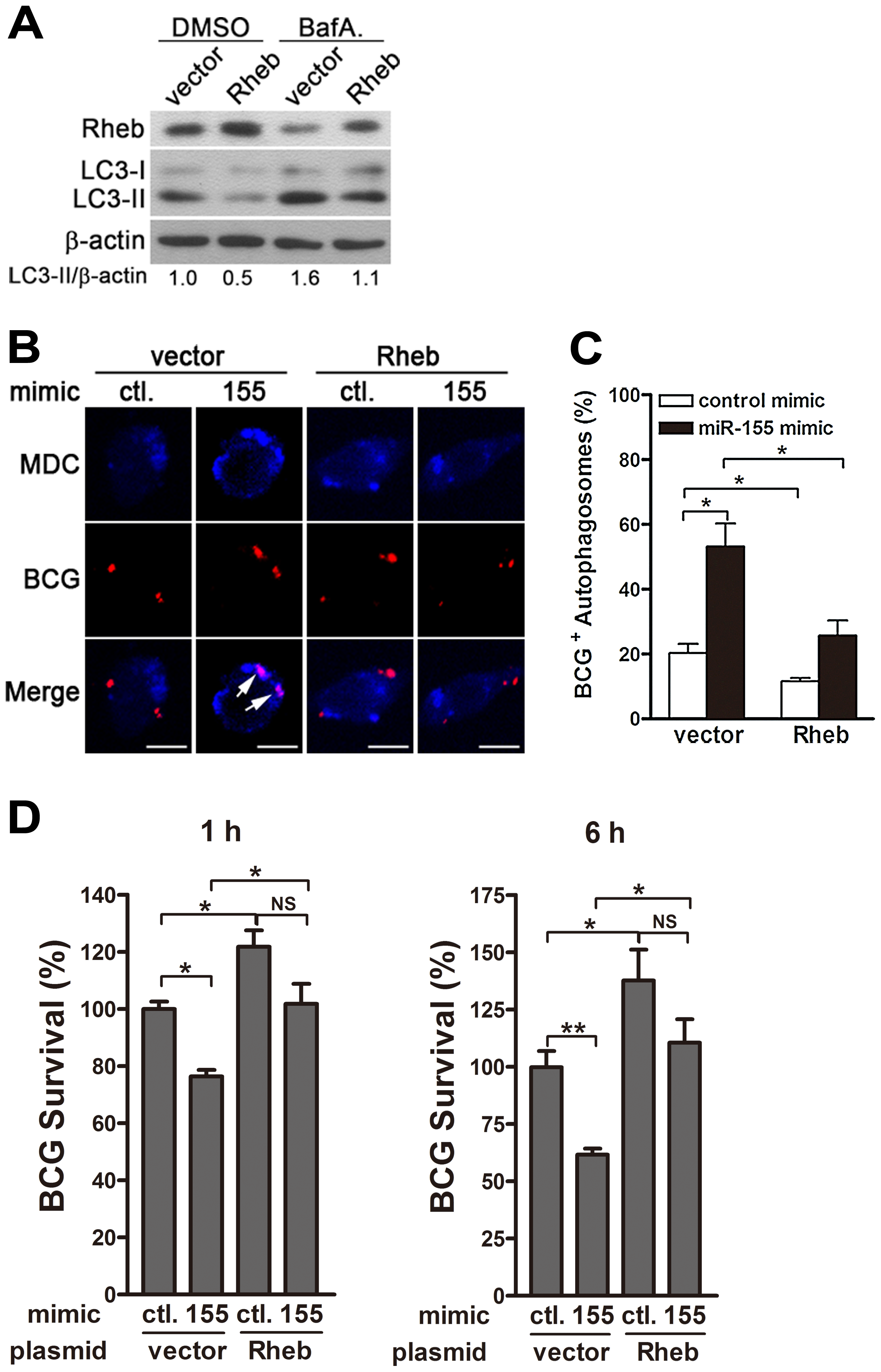 miR-155-induced autophagy promotes the co-localization of BCG with autophagosomes by suppressing Rheb expression.