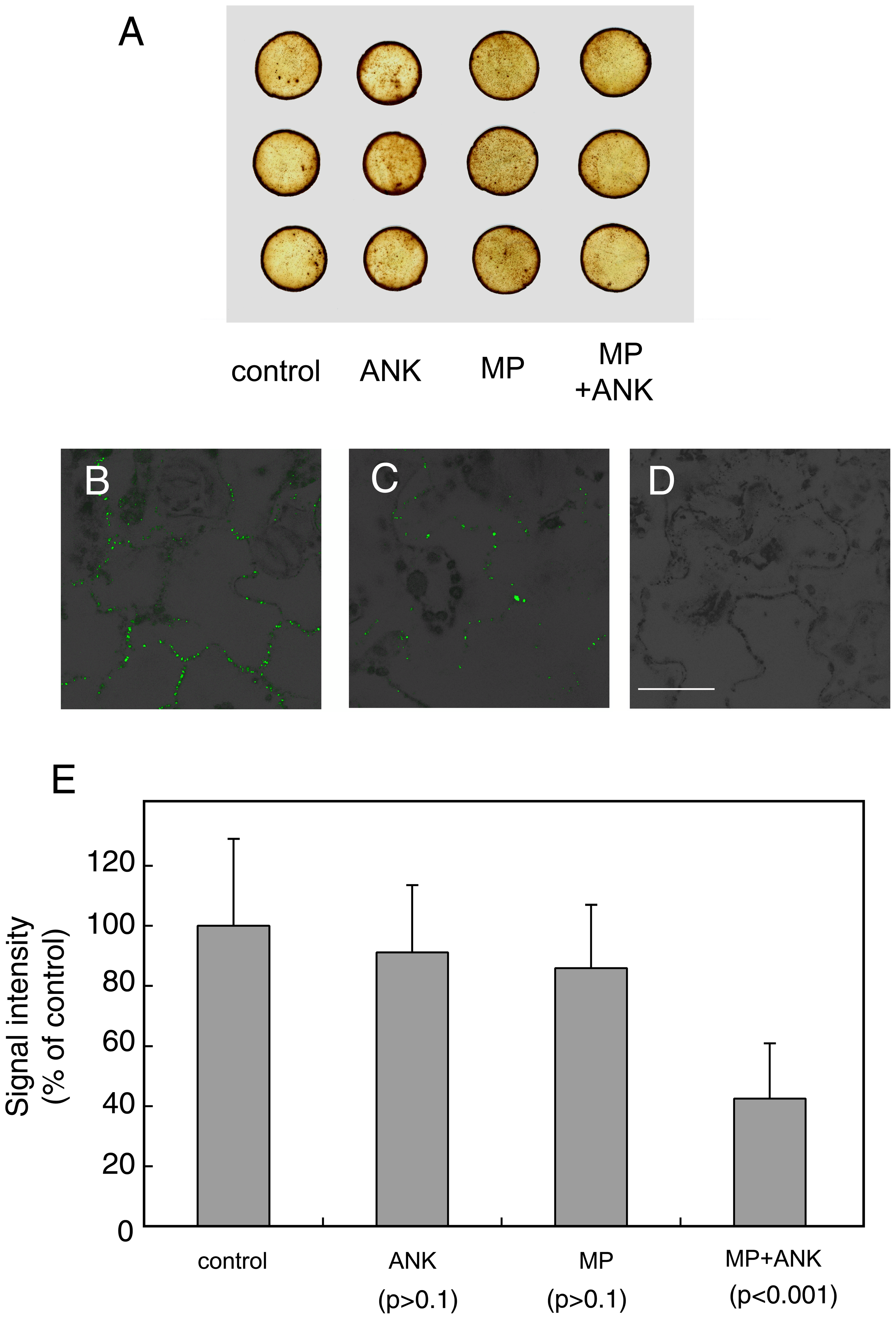 Effects of coexpression of ANK and MP on the content of ROS and callose in plant tissues.