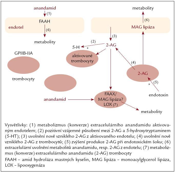 Obr. 1. Schematický obrázek možných interakcí mezi endokanabinoidy, trombocyty a endotelem.