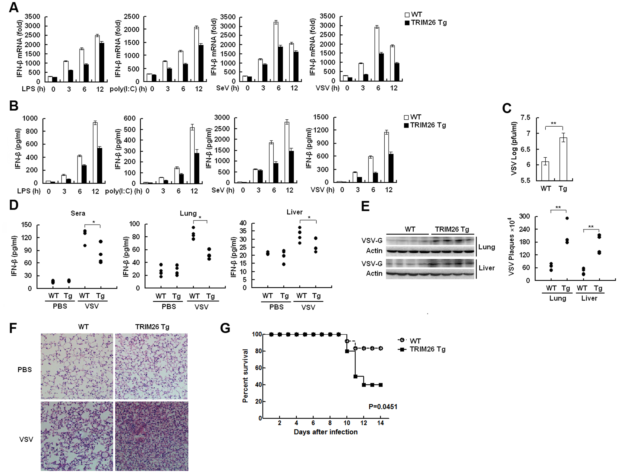 Impaired IFN-β signaling and antiviral responses in TRIM26 transgenic mice.