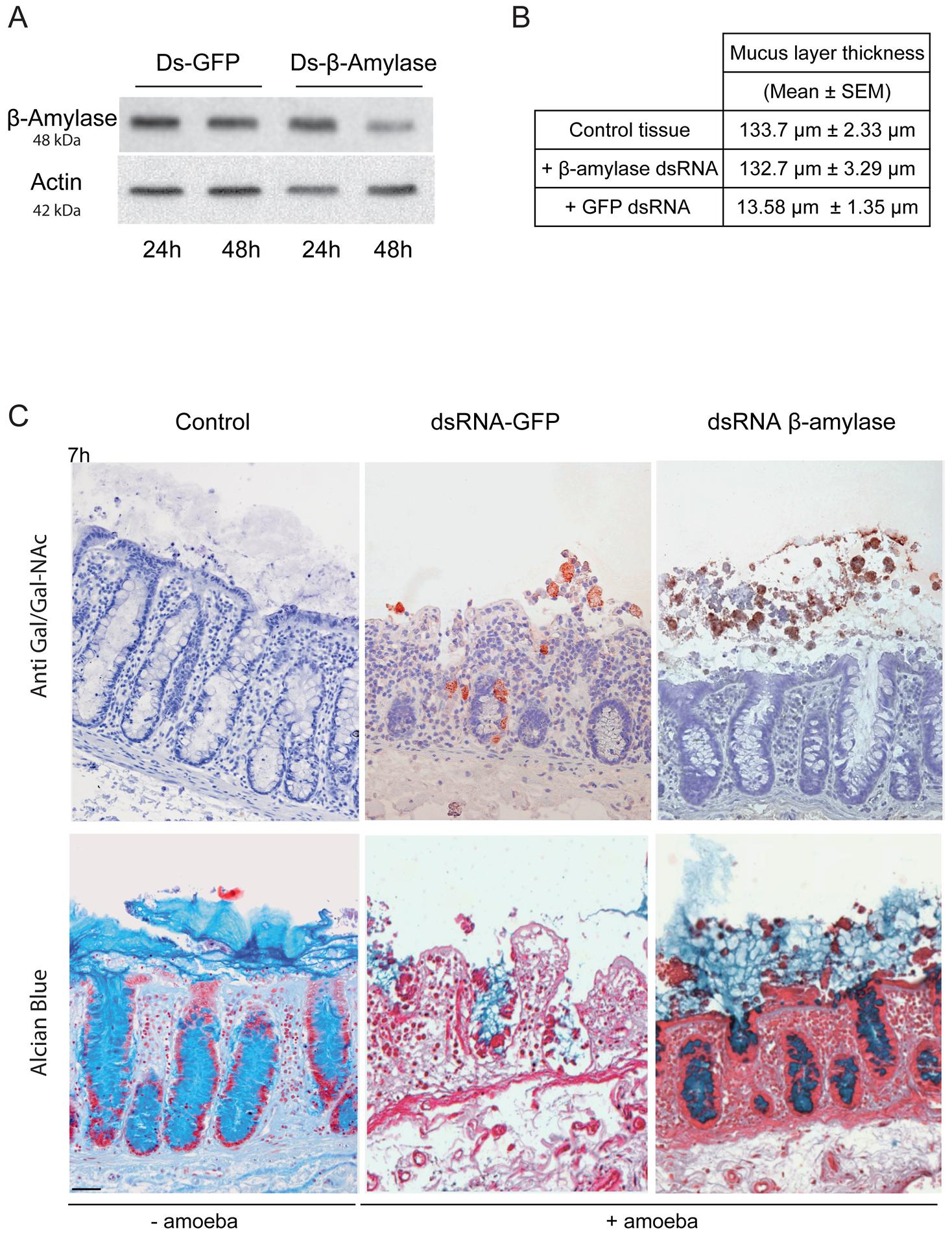Depletion of ß-amylase in HM1:IMSS trophozoites prevent mucus layer degradation.
