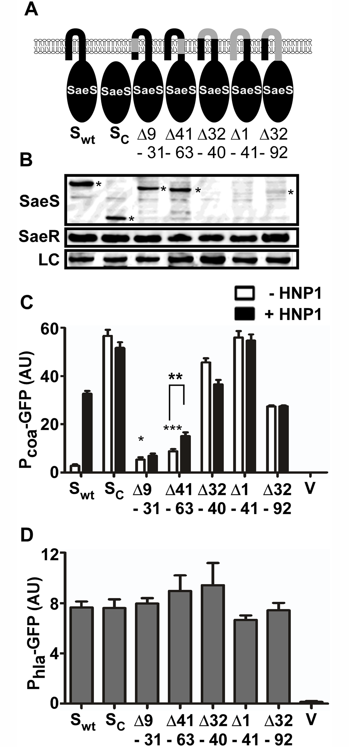 The extracytoplasmic linker peptide restrains the basal kinase activity.