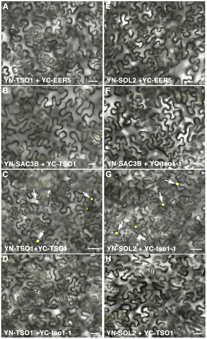 BiFC analyses showing TSO1 to TSO1 as well as tso1-1 to SOL2 interactions.