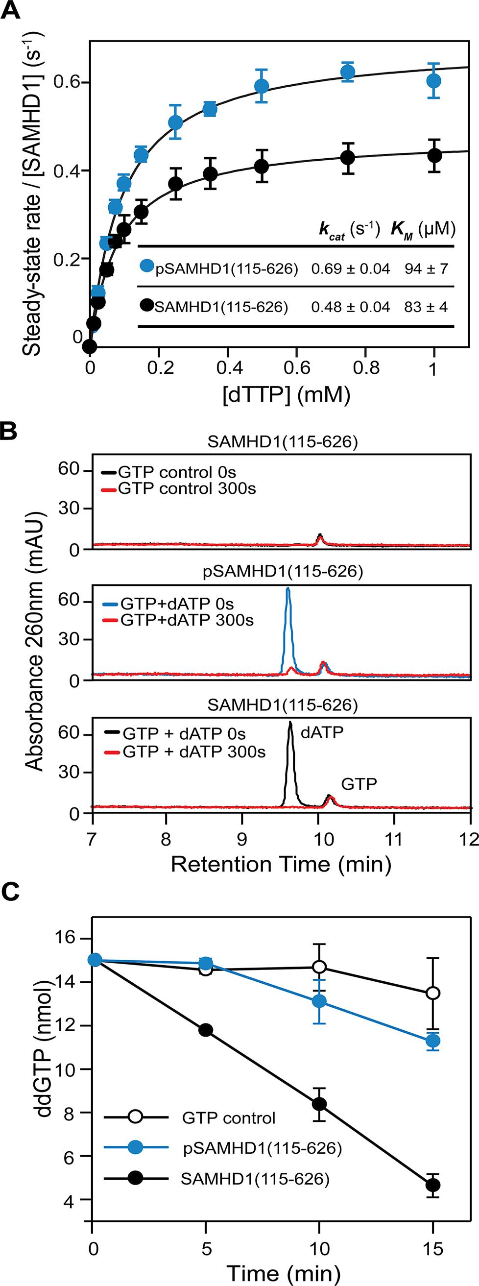 The effect of phosphorylation on SAMHD1 enzyme activity.