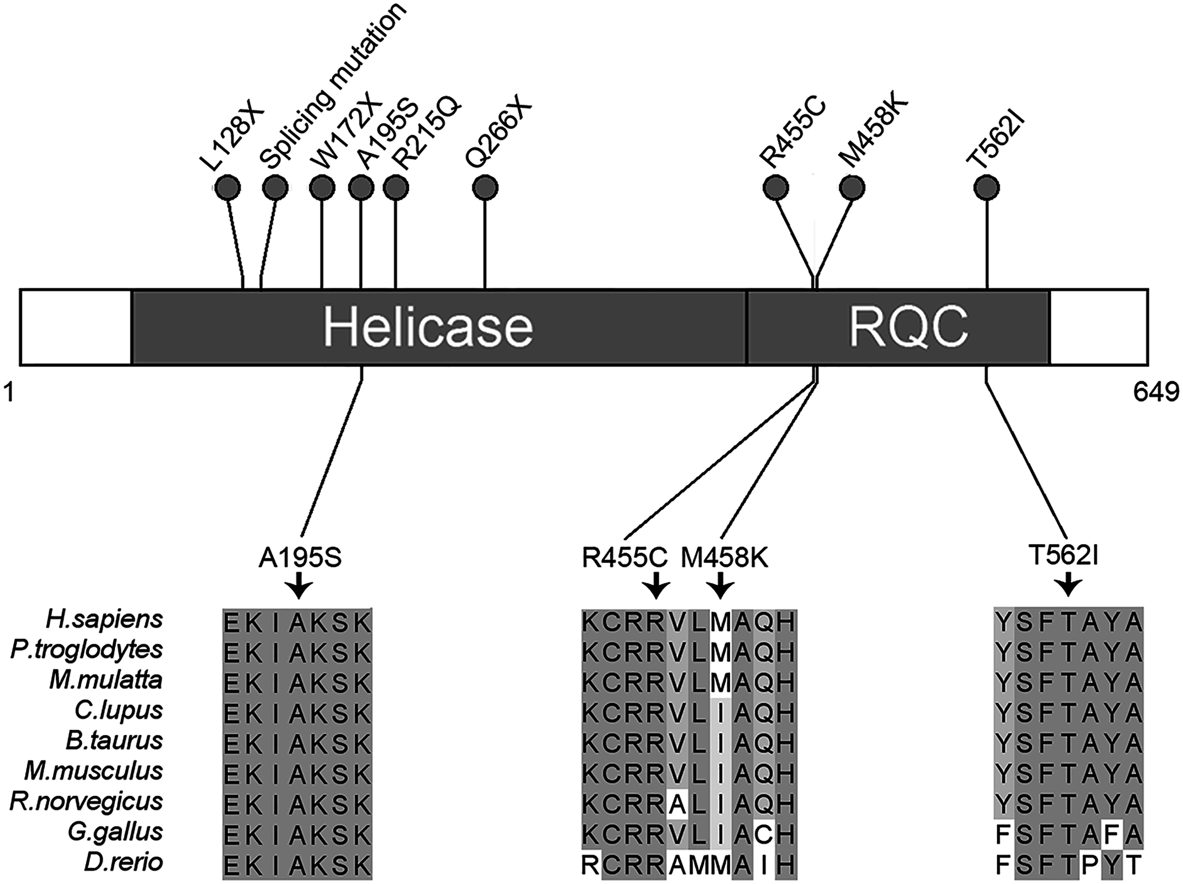 Schematic representation of <i>RECQL</i> pathogenic mutations.