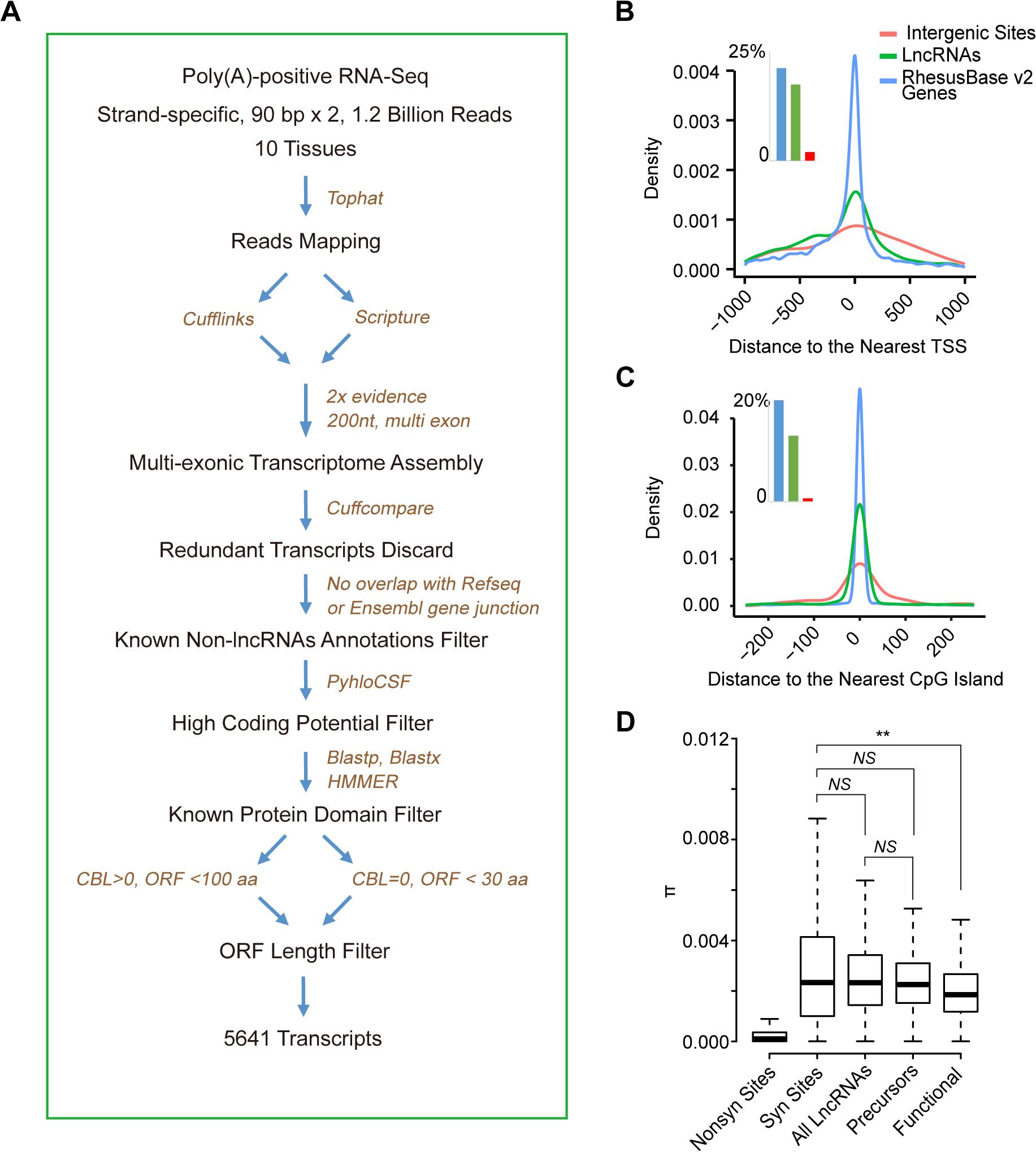 <i>De novo</i> proteins originate from lncRNAs precursors irrespectively of their functional status at RNA level.