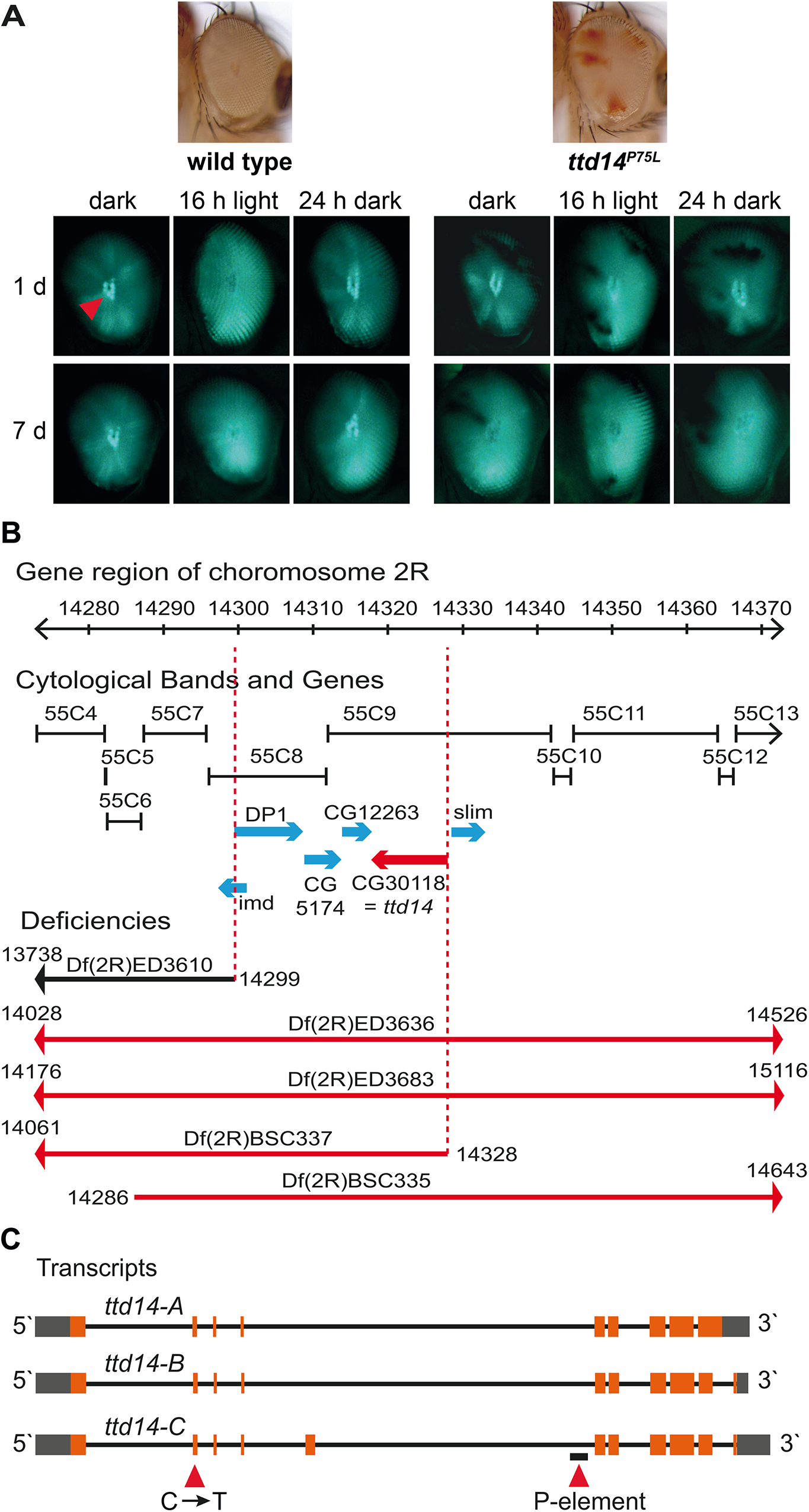 Deficiency mapping of the <i>ttd14</i> locus.