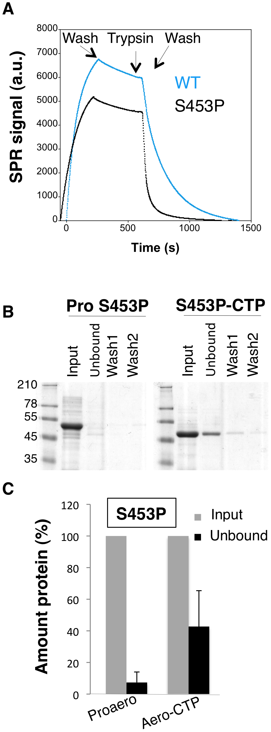 The S453P mutation leads to premature release of the CTP.
