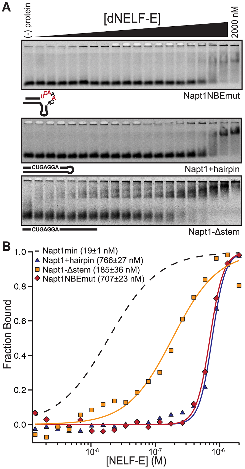 The NBE is necessary and sufficient for dNELF-E binding.
