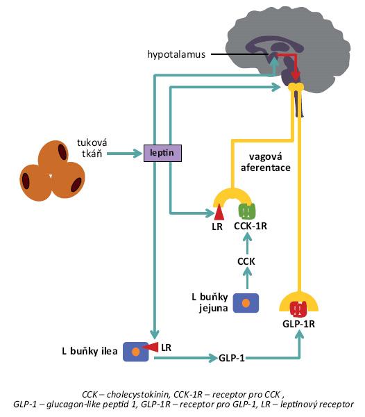 Schéma působení leptinu. Leptin produkovaný v tukové tkáni – úměrné množství tukové tkáně – působí anorexigenně prostřednictvím různých mechanizmů. Kromě přímého ovlivnění exprese hypotalamického neuropeptidu Y, resp. melanokortinů, zvyšuje leptin sekreci některých anorexigenních gastrointestinálních hormonů (např. GLP-1, glukagon-like peptid 1), nepřímo také posiluje anorexigenní působení cholecystokininu či GLP-1 v hypotalamu a vagovou aferentaci z gastrointestinálního traktu aktivovanou těmito hormony [6].