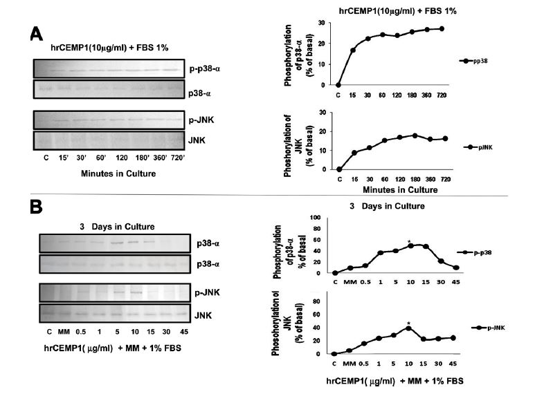 Figure 1. Effect of hrCEMP1 on the phosphorylation of p38-α, and JNK in HCDC. (A) HCDC were incubated with 10μg/mL hrCEMP1+1% FBS during 15, 30, 60, 120, 180, 360 and 720min. The activation of p38-α and JNK by hrCEMP1 is observed after 15min of treatment and increased over time. (B) To determine hrCEMP1's effective dose, the HCDC were exposed to 1% FBS+10mM, β-glycerophosphate and 50μg/mL of ascorbic acid+hrCEMP1 (0.5, 1, 5, 10, 15, 30, 45μg/mL) for 3 days. The optimal dose to trigger p38-α, and JNK phosphorylation was of 10µg/mL hrCEMP1. The phosphorylation levels of signalling molecules were determined by western blot analysis using 10μg of total protein. n=3, *P<0.05.