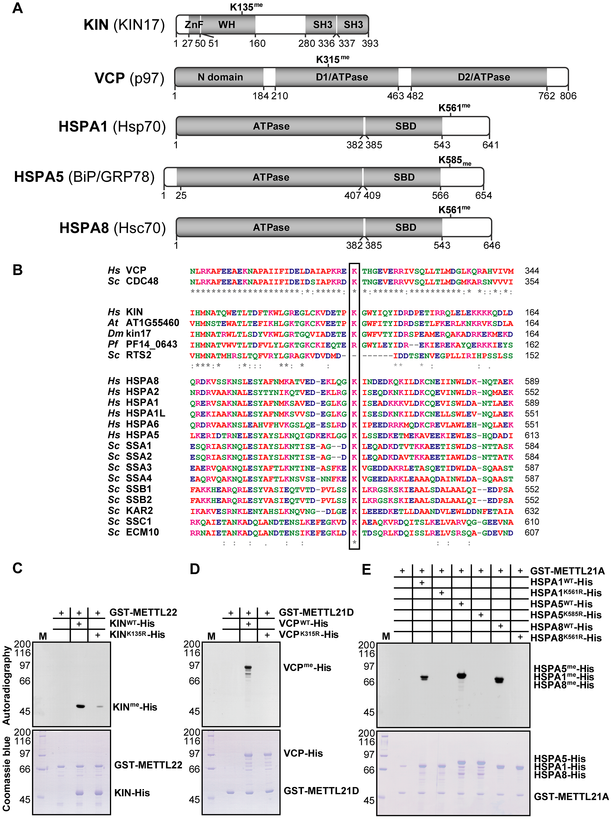 KIN, VCP, and a number of hsp70 isoforms are each trimethylated on lysine residues by specific methyltransferases within this family.