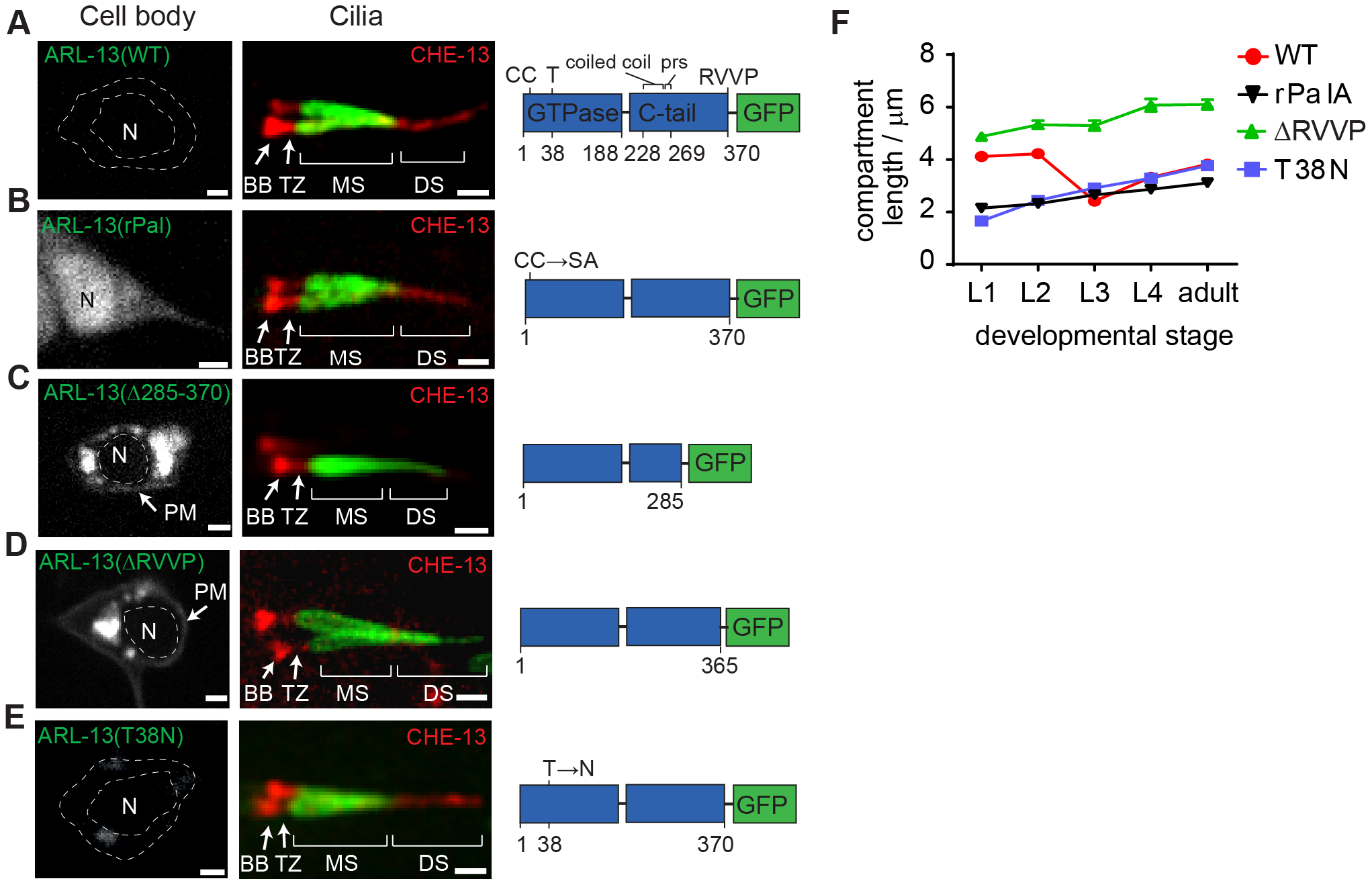 RVVP and palmitoylation modification motifs prevent targeting of ARL-13 to ciliary distal segments and the nucleus.