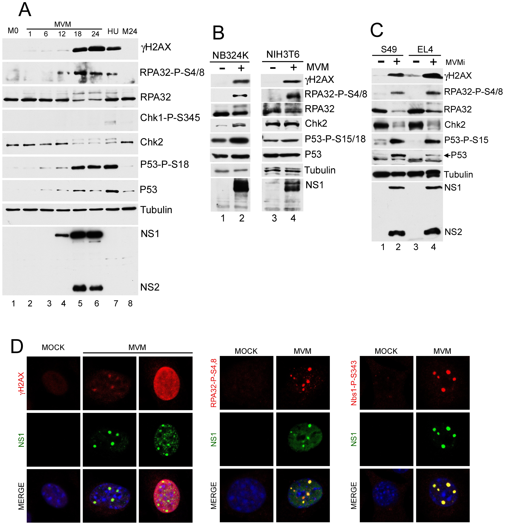 MVM infection induces a DNA damage response (DDR).
