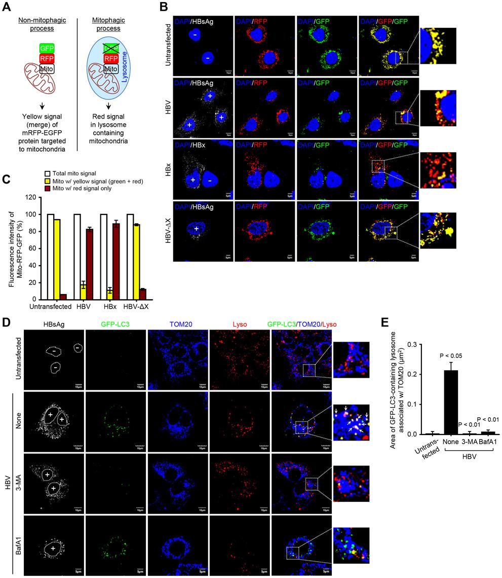 HBV/HBx induces mitophagolysosomes.