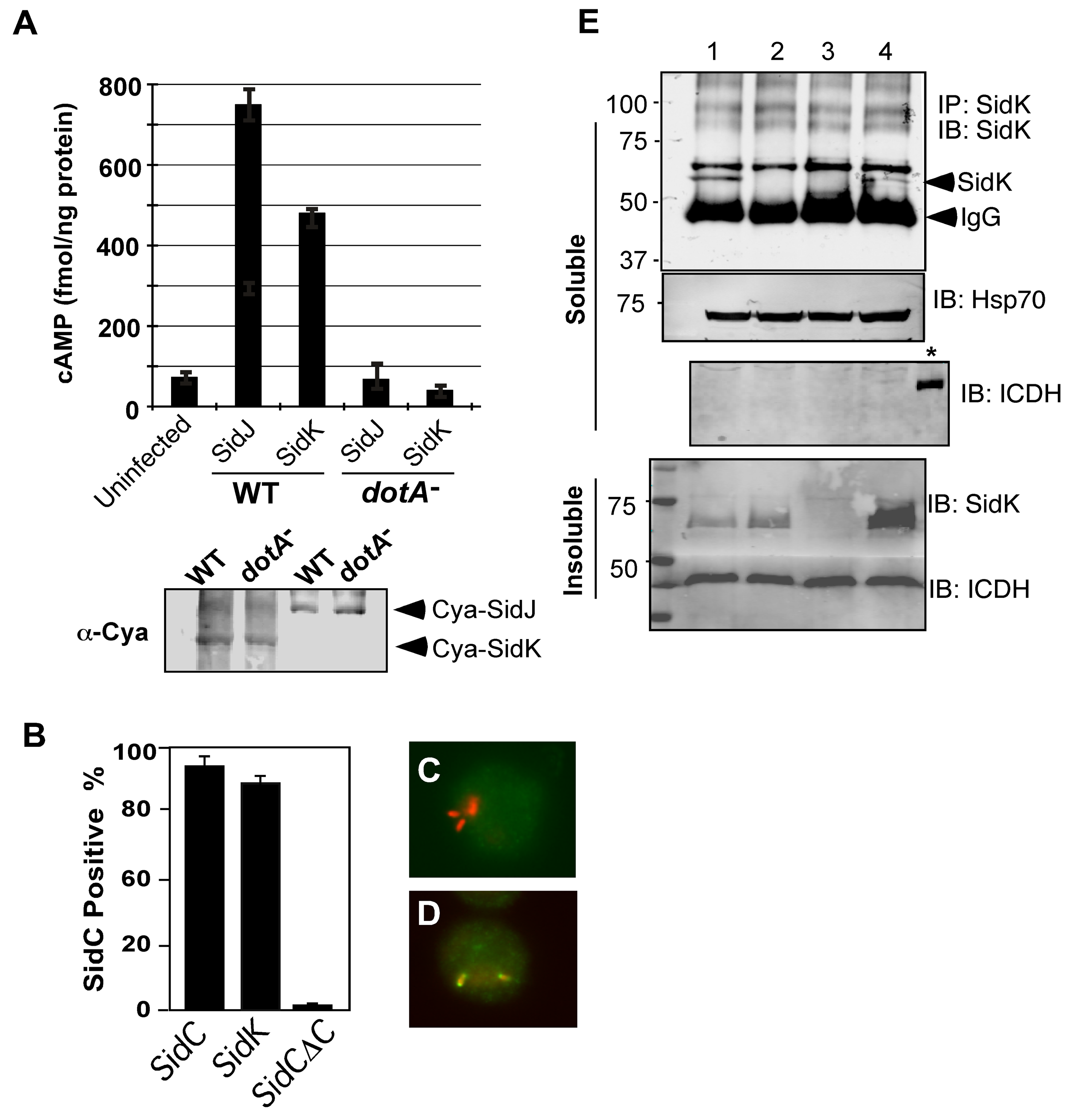 SidK is translocated into infected cells by the Dot/Icm transporter.