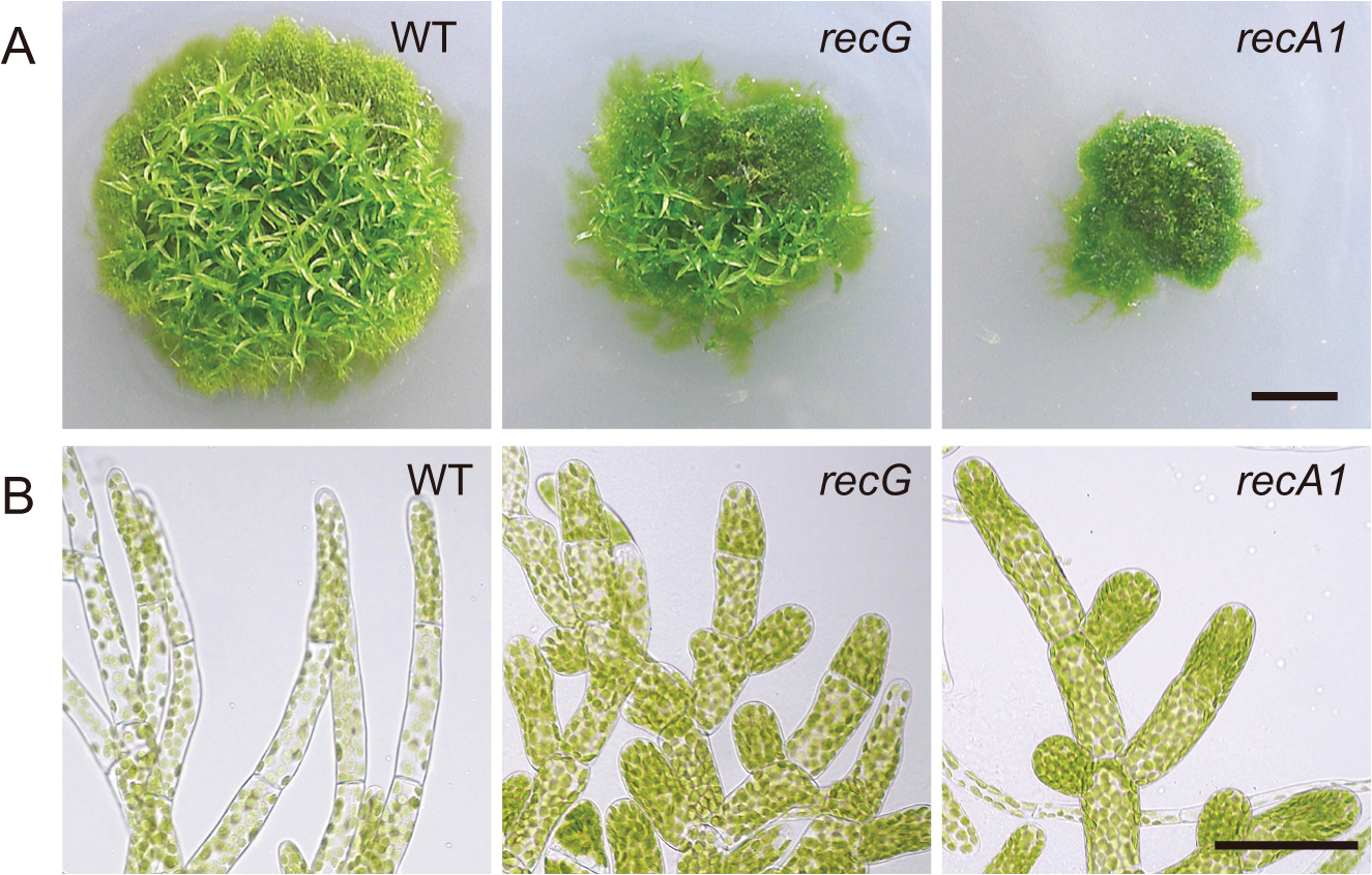 Cell growth and morphology of <i>RECG</i> KO plants.