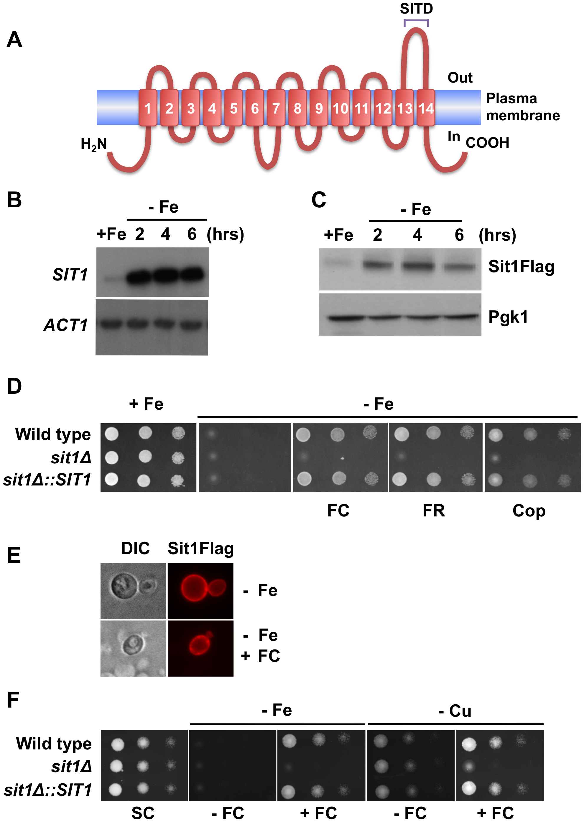 <i>SIT1 substrate specificity and regulation under Fe deficiency</i>.