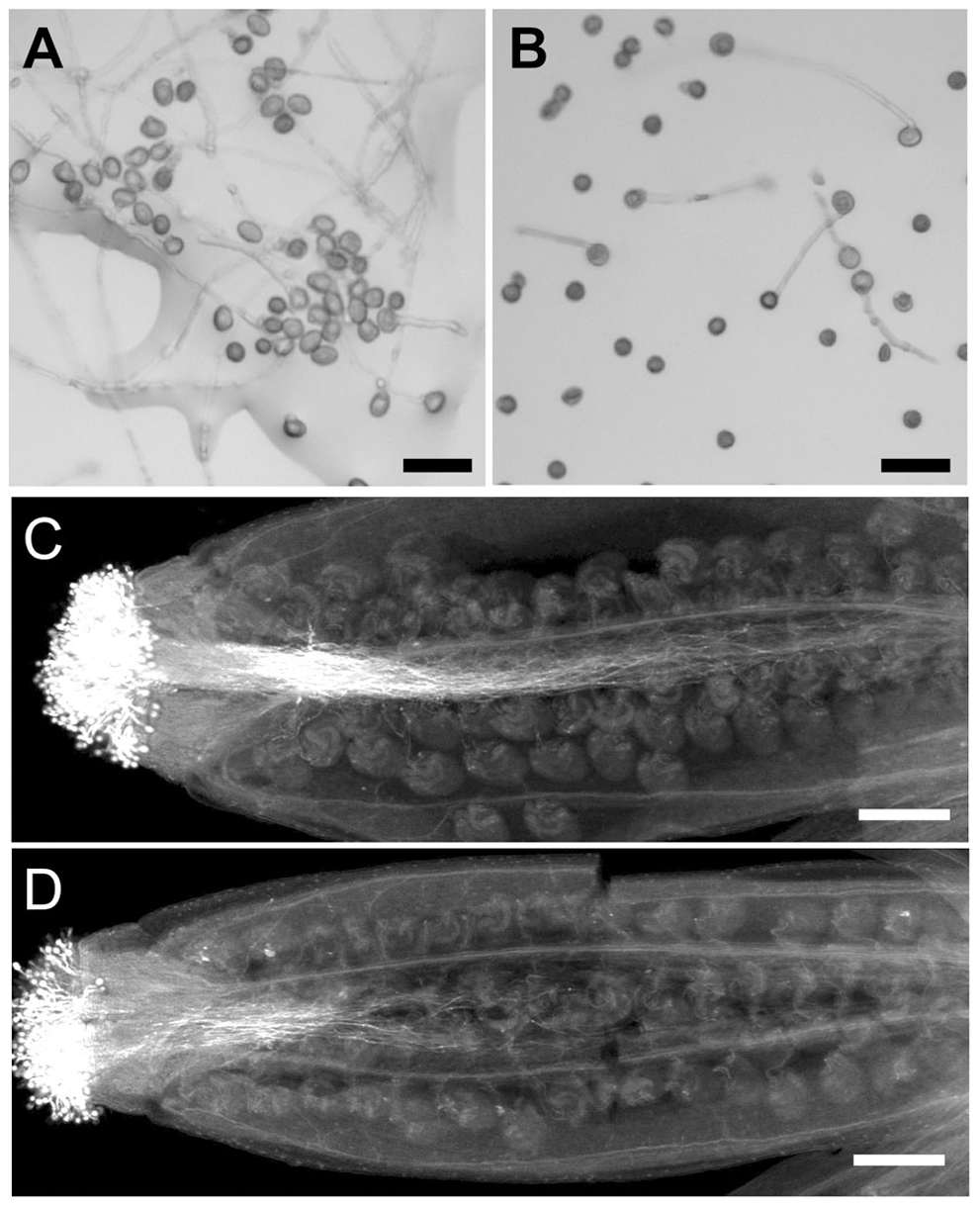 Pollen germination and pollen tube growth are defective in <i>wrky2-1 wrky34-1</i>.
