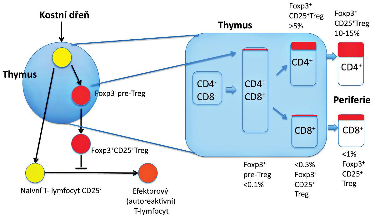 Vývoj Treg v thymu.  Vývoj Foxp3<sup>+</sup> thymocytů (Foxp3<sup>+</sup> pre-Treg) zahrnuje v thymu interakce s thymickými stromálními buňkami prostřednictvím různých molekul. Foxp3<sup>-</sup> thymocyty v rané fázi (CD4<sup>+</sup>CD8<sup>+</sup>) nebo v pozdní fázi (CD4<sup>+</sup>) se mohou diferencovat na CD25<sup>+</sup>Foxp3<sup>+</sup> Treg po obdržení signálu, který vzniká interakcemi mezi TCR a major histocompatibility/self-antigen (MHC/autoantigen) komplexy prezentovanými na stromálních buňkách zprostředkovaných dalšími molekulami (např. CD28) a jejich ligandy (např. CD80 a CD86) a humorálními faktory derivovanými ze stromálních buněk (např. cytokiny). Složení Foxp3<sup>+</sup> buněk v každé subpopulaci thymocytů (CD4<sup>+</sup> versus CD8<sup>+</sup>) je zobrazeno v procentech. Za jistých podmínek se mohou CD4<sup>+</sup> non-Treg diferencovat na Foxp3<sup>+</sup> Treg až v periferii (tzv. indukované Treg – není znázorněno). Exprese Foxp3, která určuje diferenciaci thymocytů zodpovídá nejenom za supresivní aktivitu, ale zároveň stabilizuje funkci a fenotyp Treg (např. prostřednictvím exprese CD25).