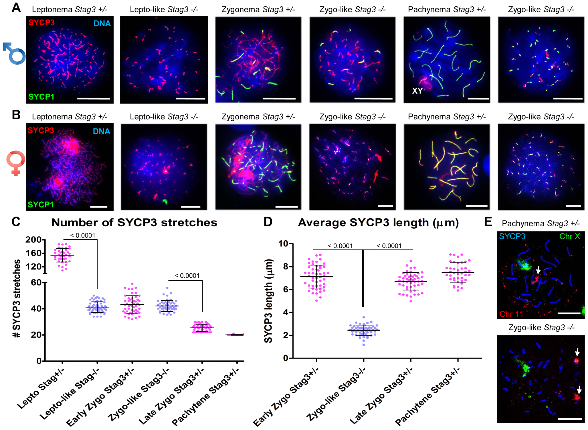 <i>Stag3</i> mutation results in abnormal meiosis progression, atypical synapsis between sister chromatids, and absence of pachytene stage germ cells.