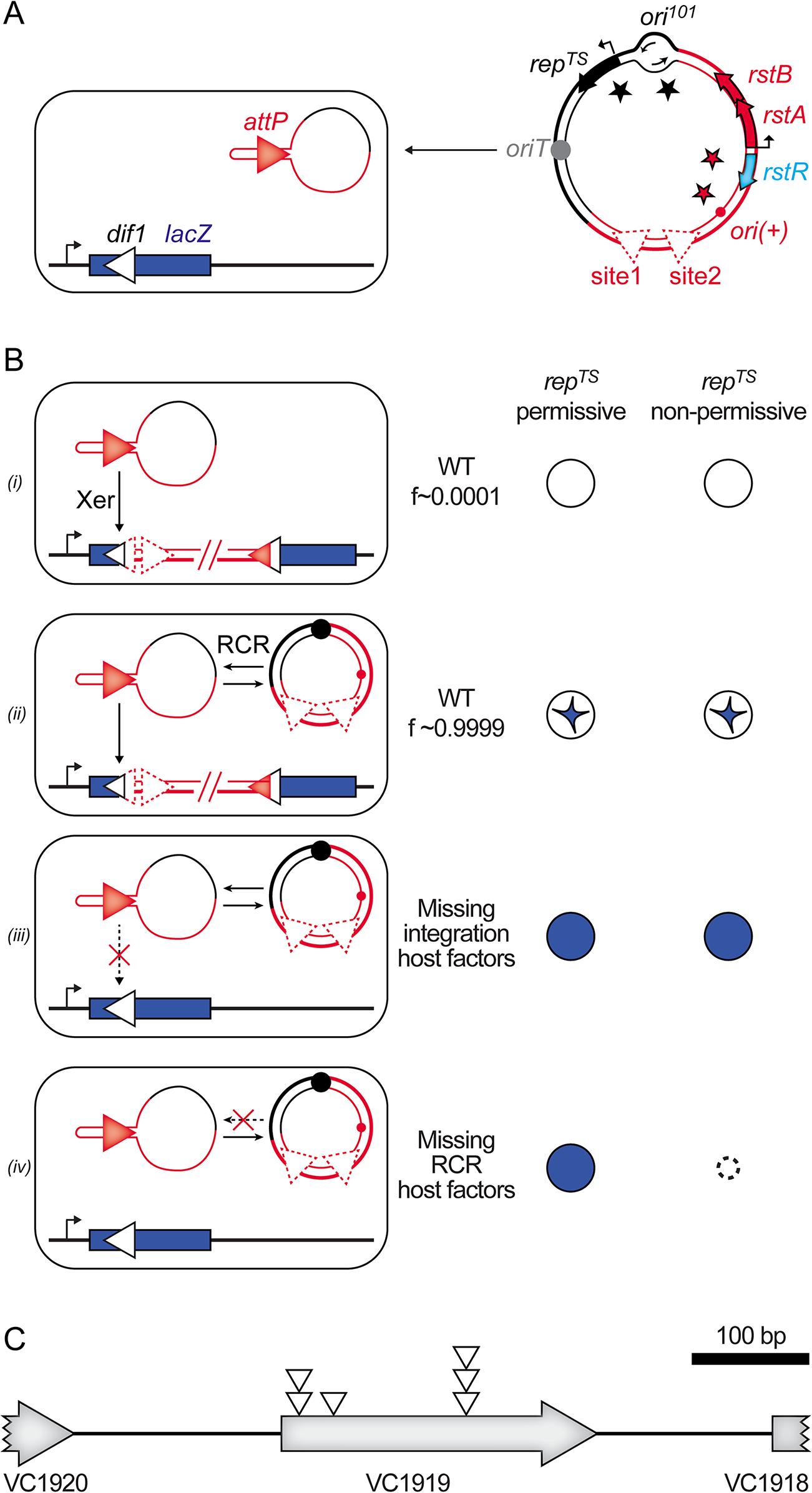 Screen for host factors implicated in CTXϕ replication.