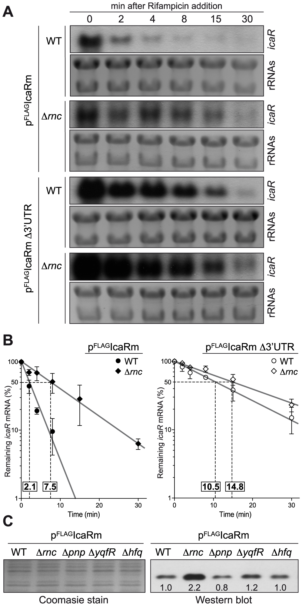 Deletion of <i>rnc</i> gene, which encodes the double stranded endoribonuclease RNase III, affects <i>icaR</i> mRNA stability and IcaR protein levels.