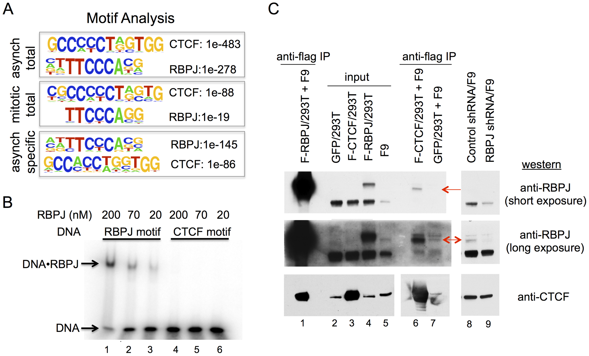 RBPJ interacts with CTCF and is enriched at genomic loci containing CTCF-binding motifs.