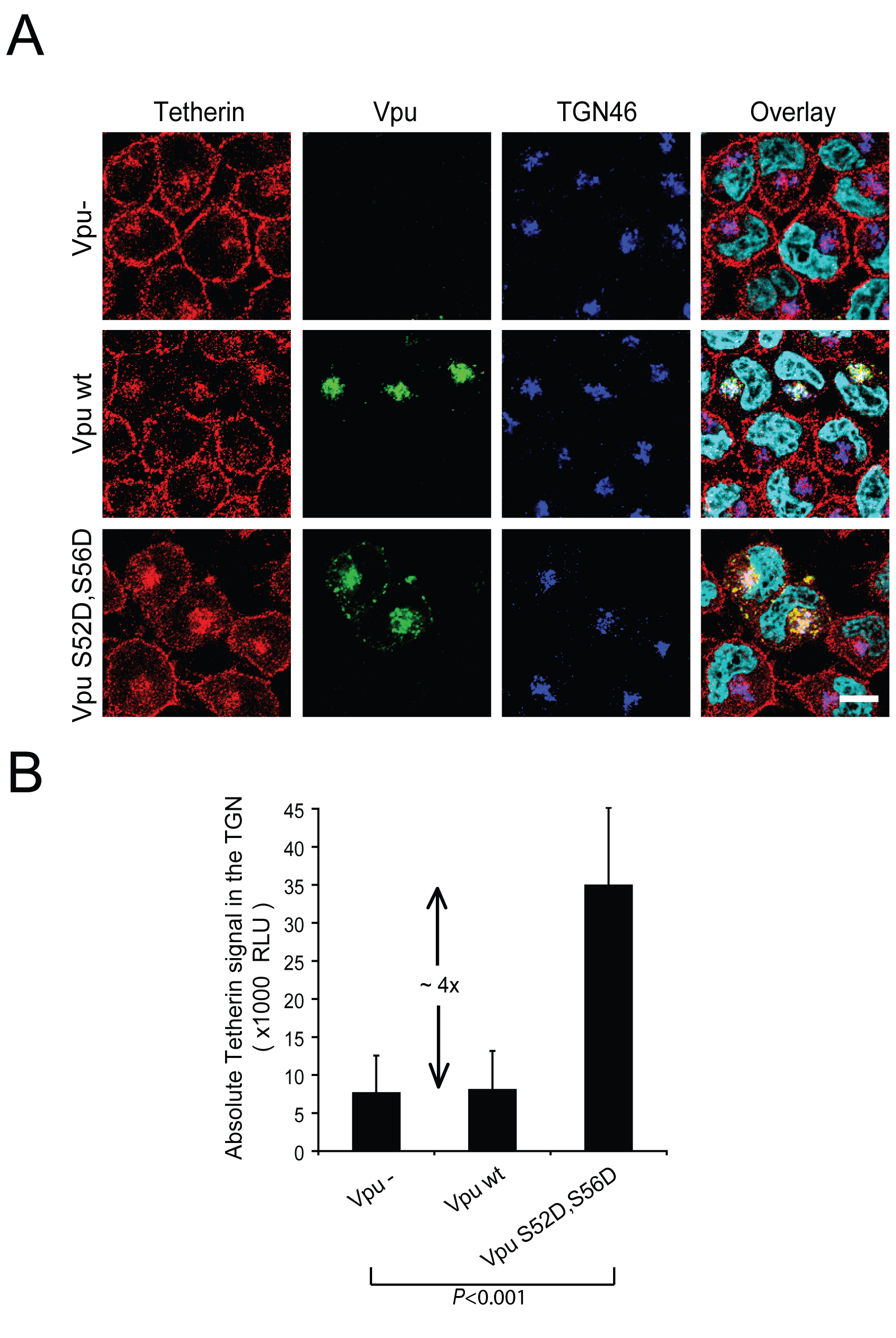Vpu expression causes a re-localization of the cellular pool of Tetherin in a perinuclear compartment.