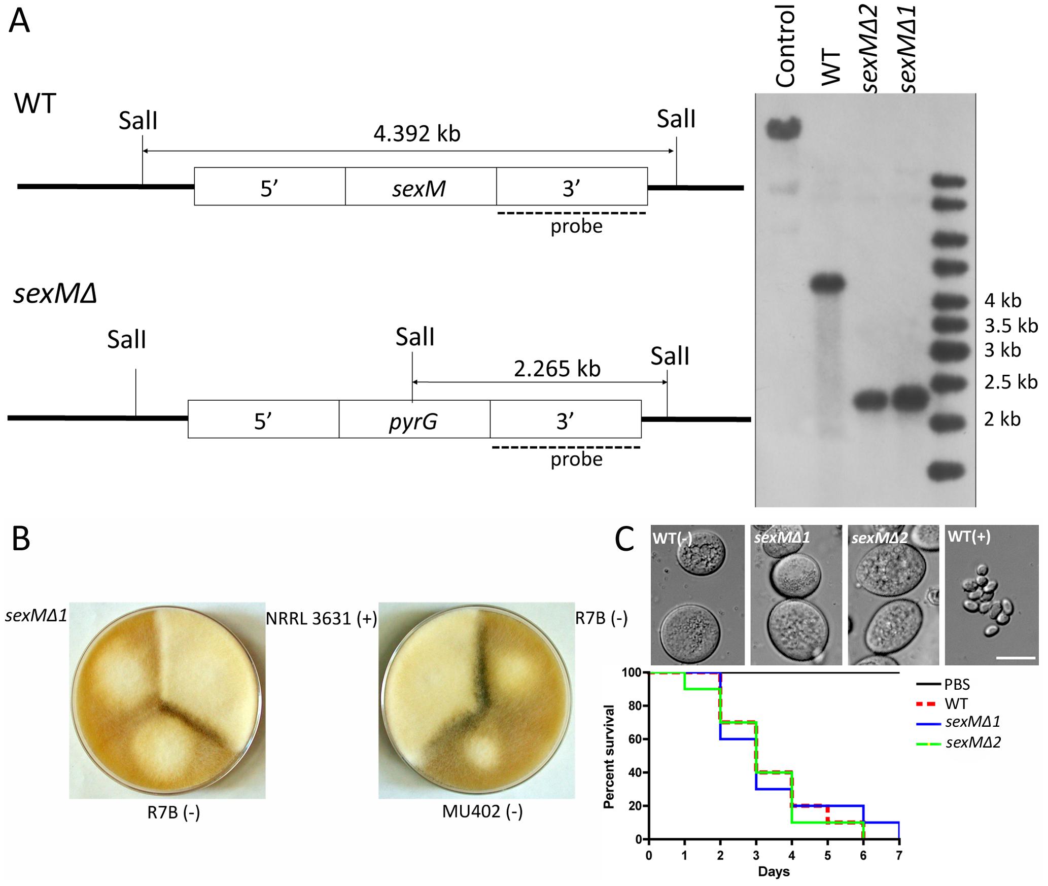 Disruption of the <i>sexM</i> gene and mating and virulence tests of the <i>sexM</i> mutants.