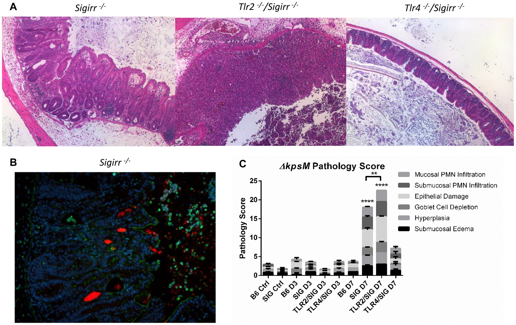 Colonization and pathology of <i>Sigirr<sup>−/−</sup></i> and TLR-deficient mice by <i>C. jejuni ΔkpsM in vivo</i>.
