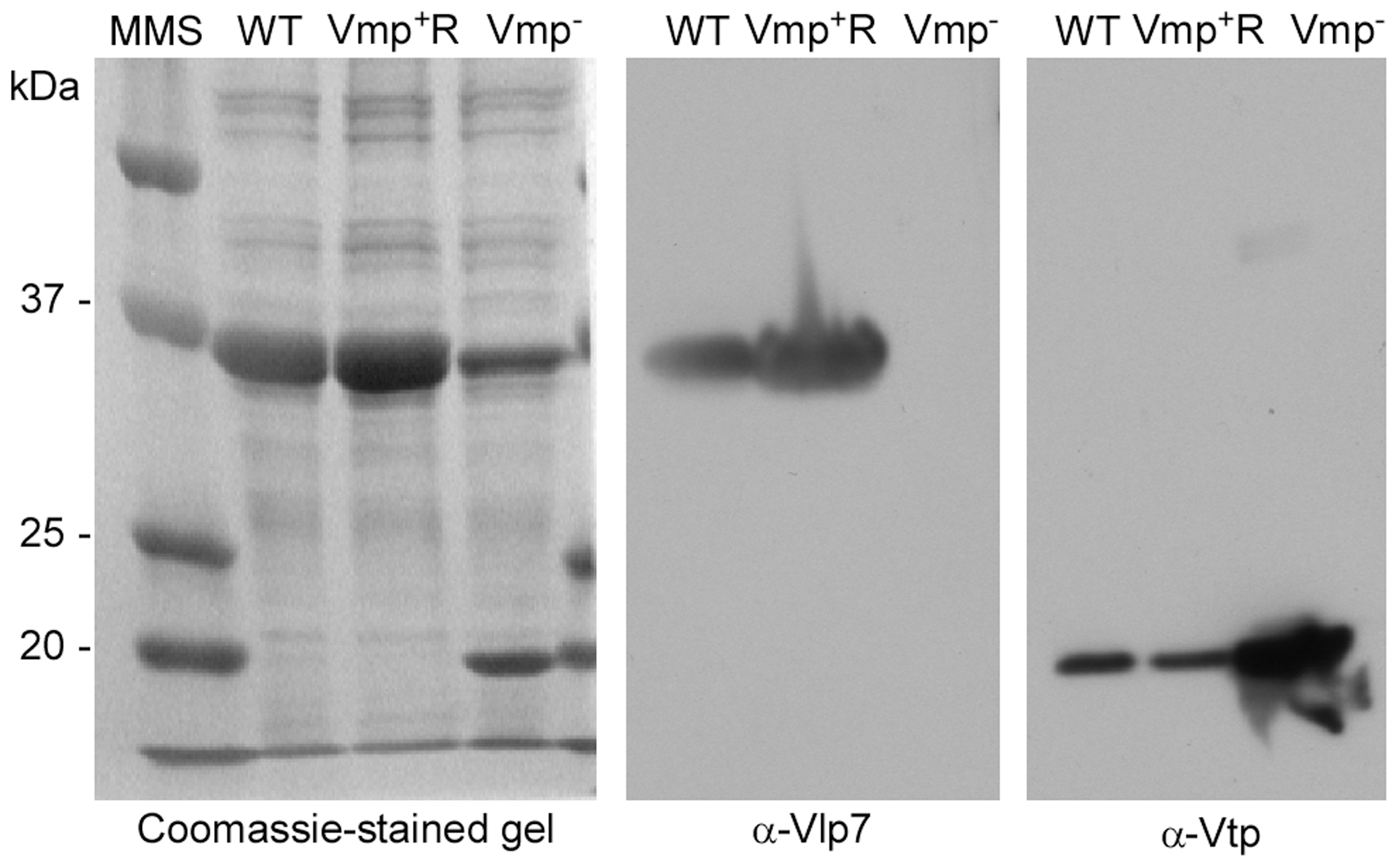 The Vmp<sup>−</sup> mutant <i>B. hermsii</i> produces Vtp but not Vlp7.