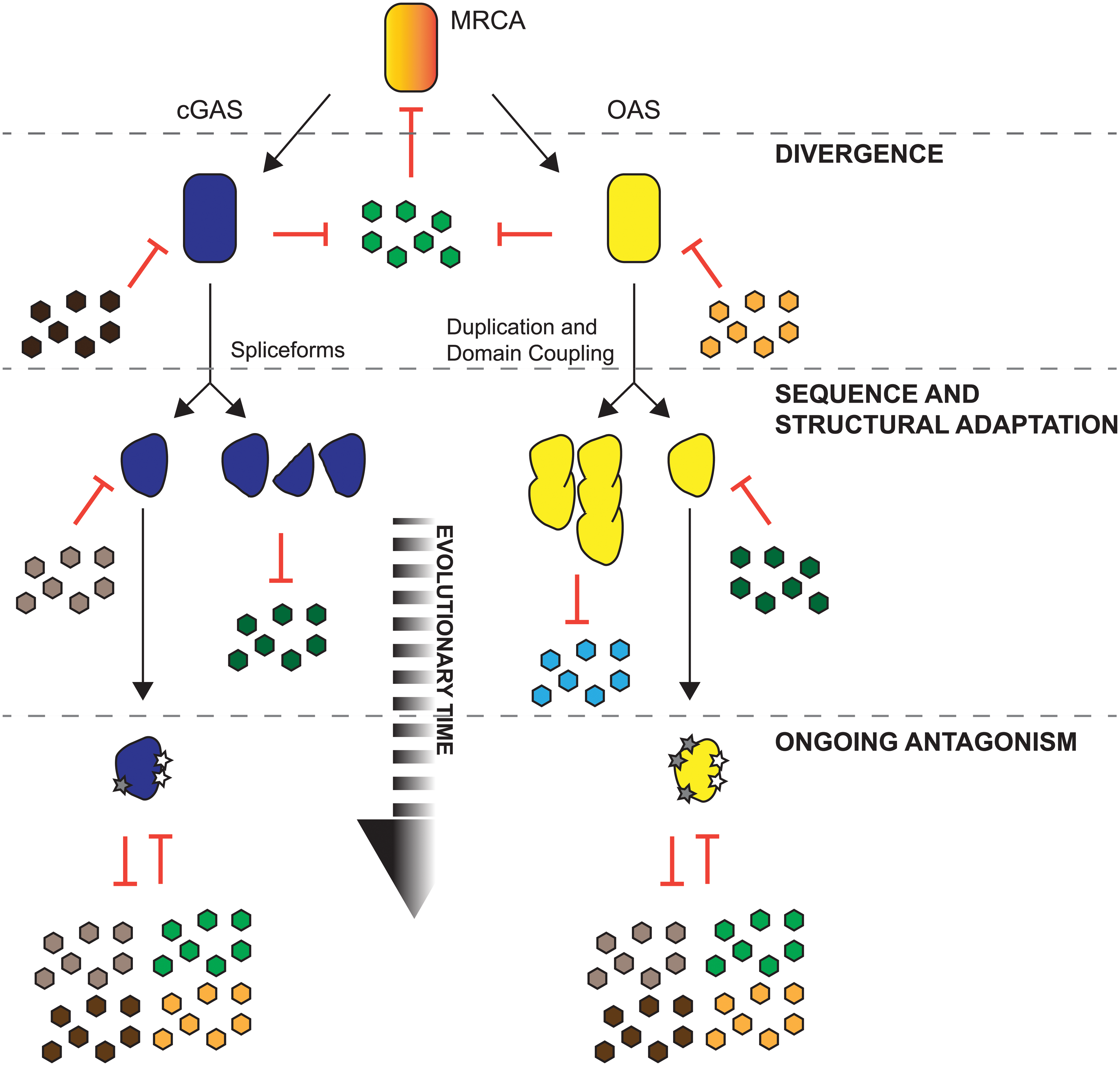 Proposed models for shared and distinct modes of adaptation for cGAS and OAS proteins in primates.