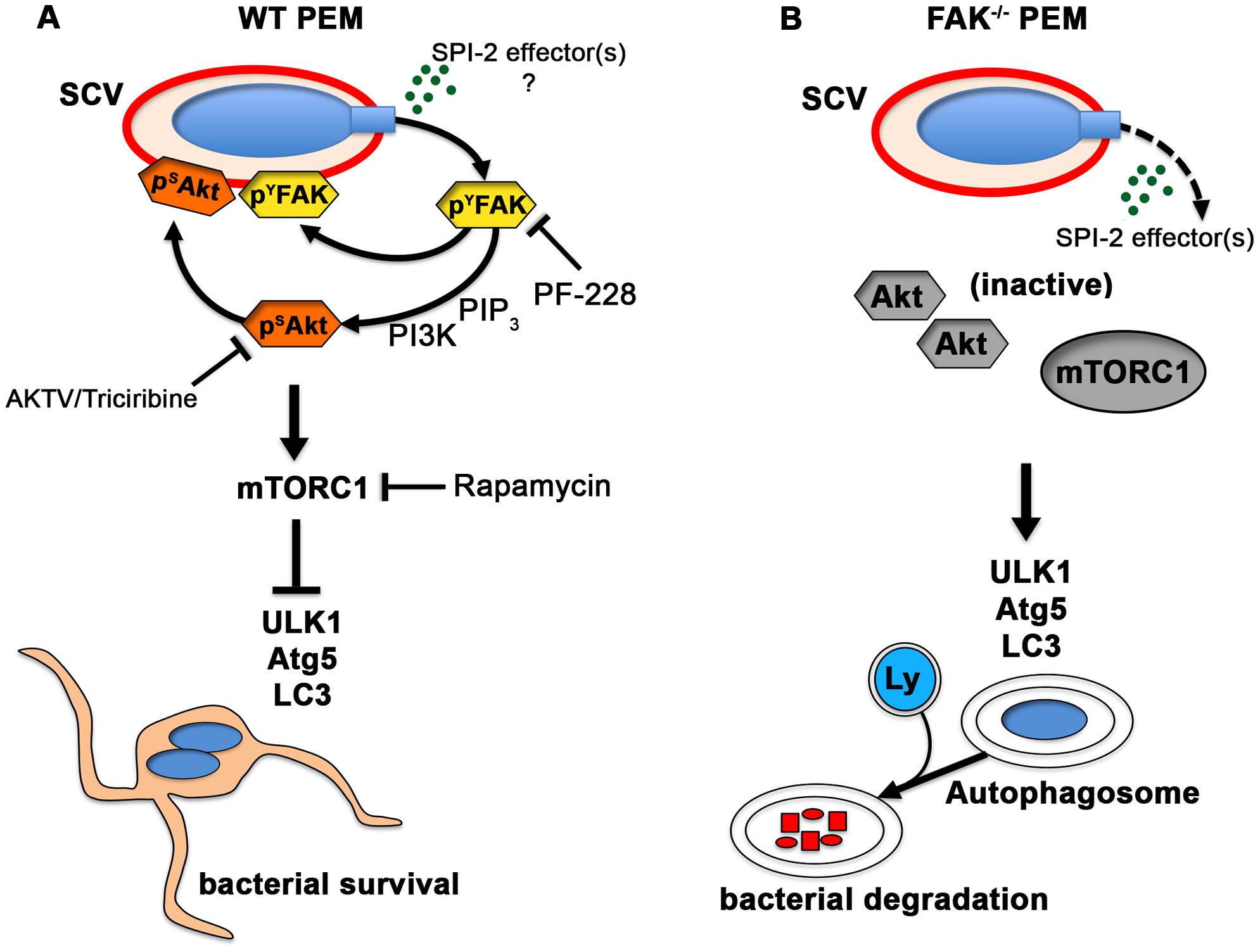 The <i>Salmonella</i> SPI-2 system triggers FAK activation and suppresses the autophagic capture of intracellular <i>Salmonella</i>.