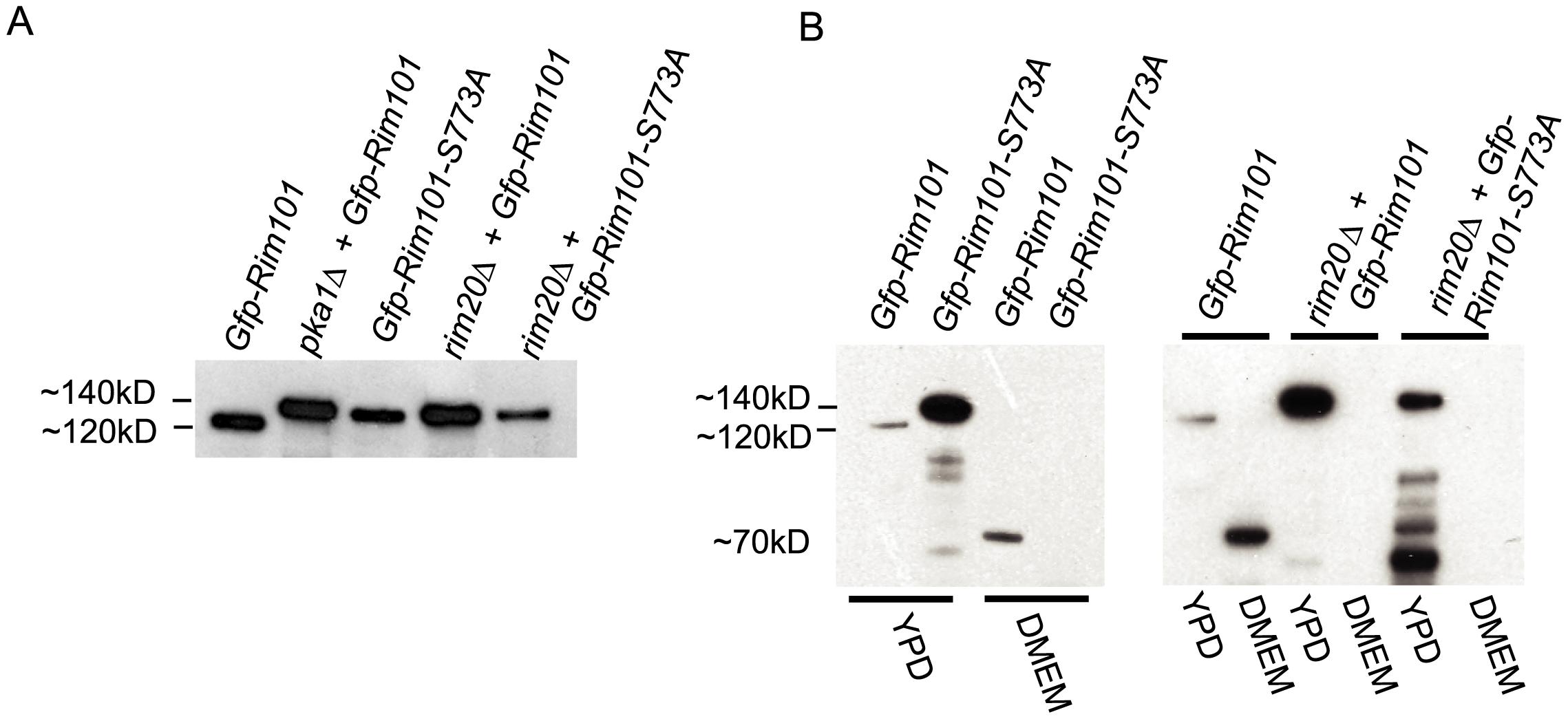Western blot analysis of Rim101 in <i>rim101</i> and <i>pka1Δ </i><i>mutant</i> backgrounds.